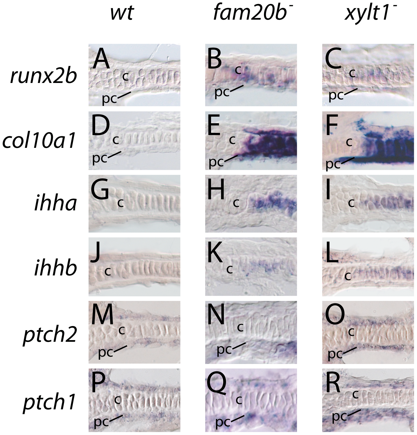 Early molecular markers of chondrocyte maturation in <i>fam20b</i> and <i>xylt1</i> mutants.