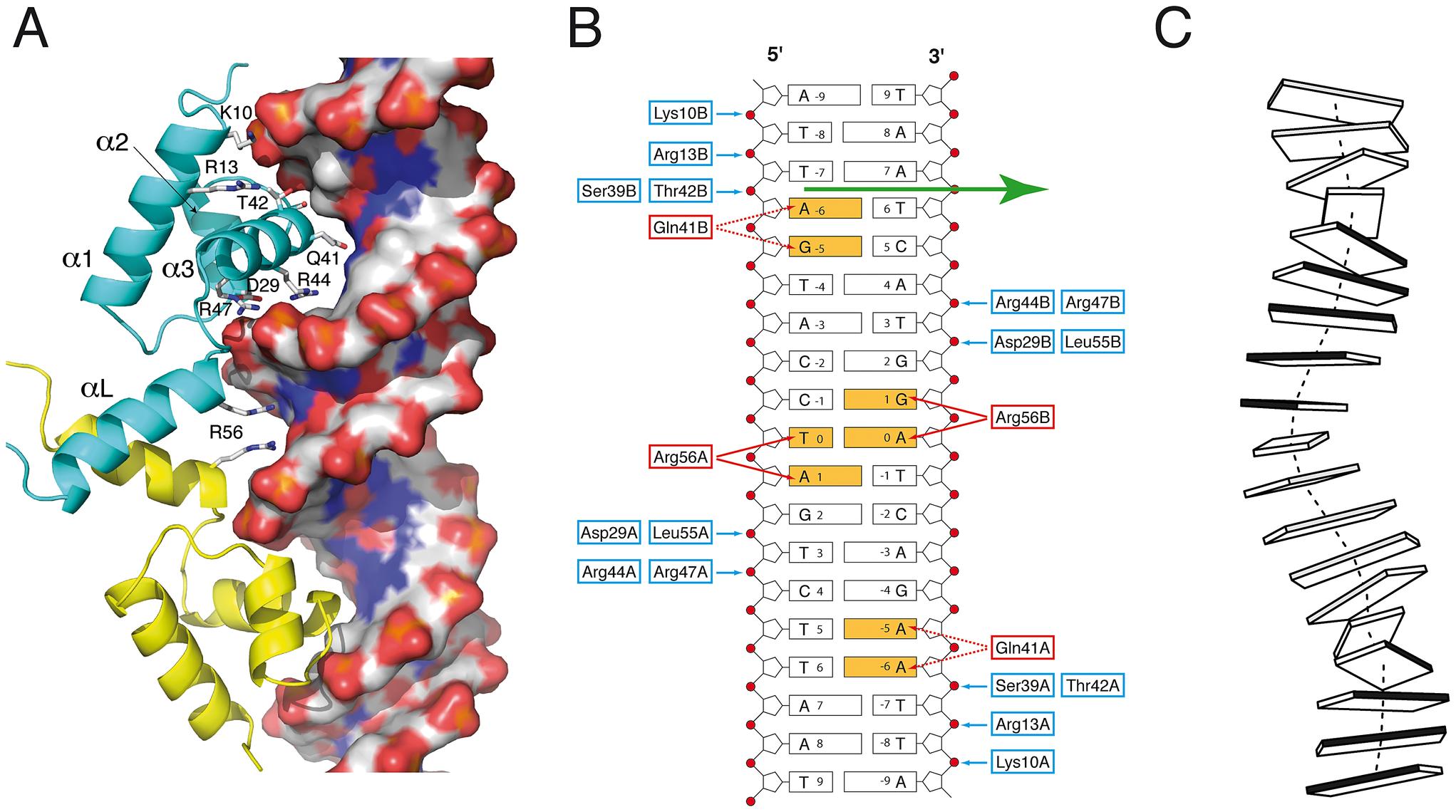 <i>Sa</i>FapR-DNA interactions.