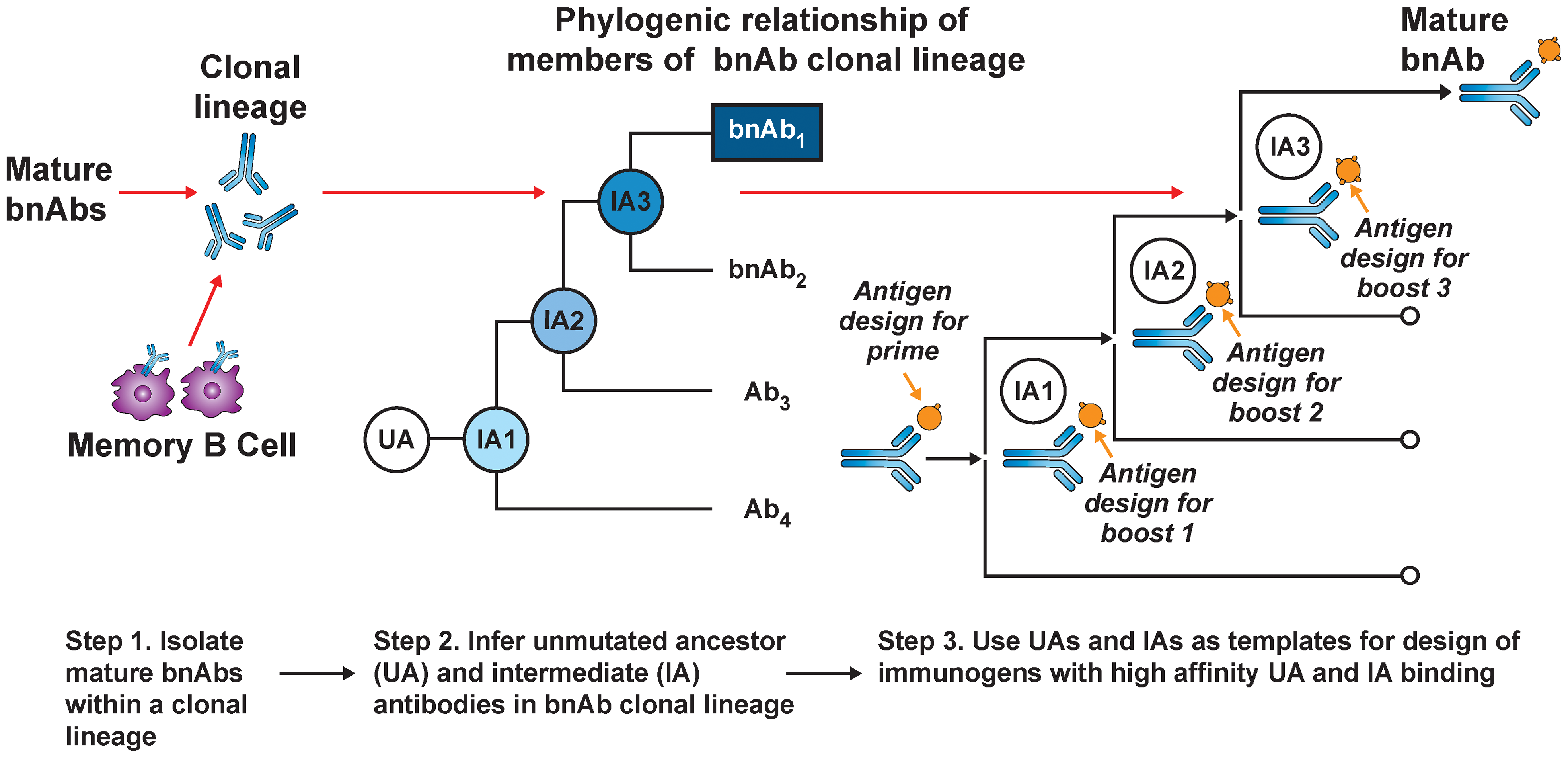 B-cell lineage-based approach to vaccine design.