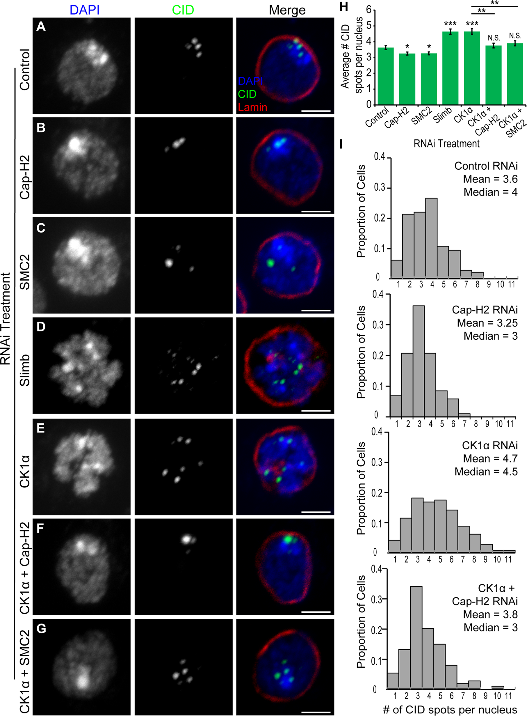RNAi of CK1α leads to dispersal of centromeres in Kc cells.