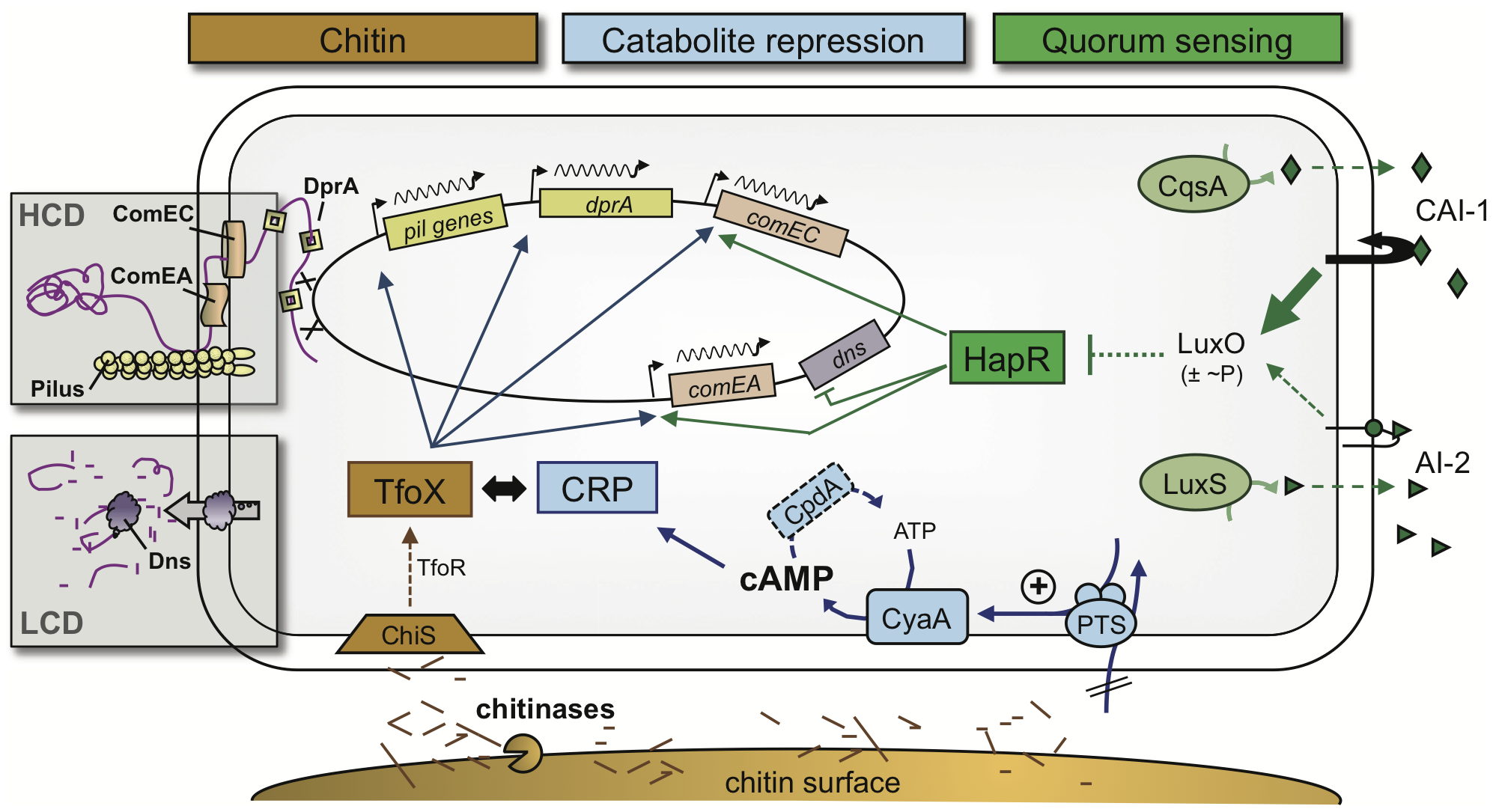 Model of the regulatory network of natural competence and transformation of <i>V. cholerae</i>.