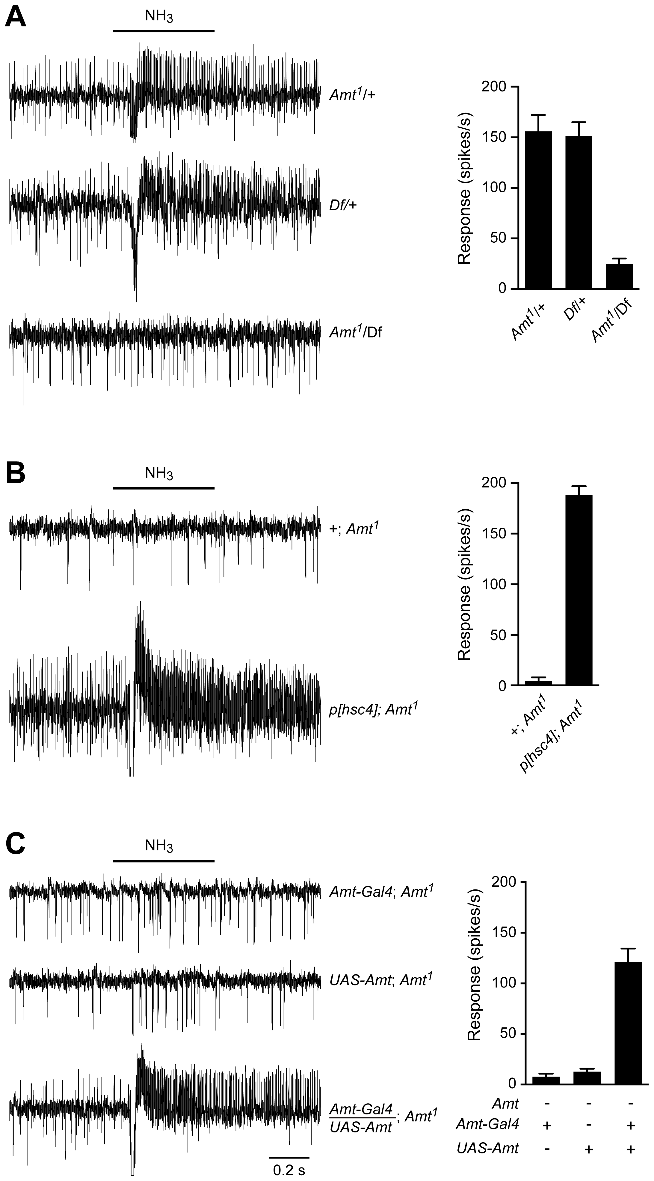 The loss of ammonia response localizes to the <i>Amt</i> gene.