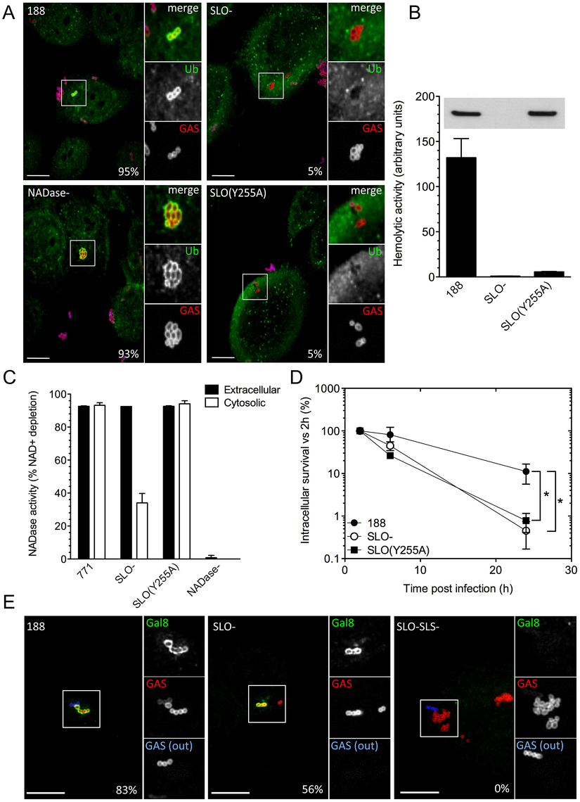 SLO, SLS, and NADase affect xenophagy and GAS intracellular survival.