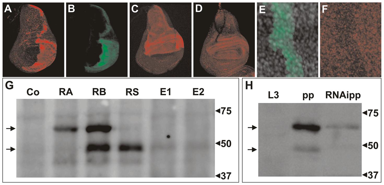 Immunodetection of DHR3 proteins.