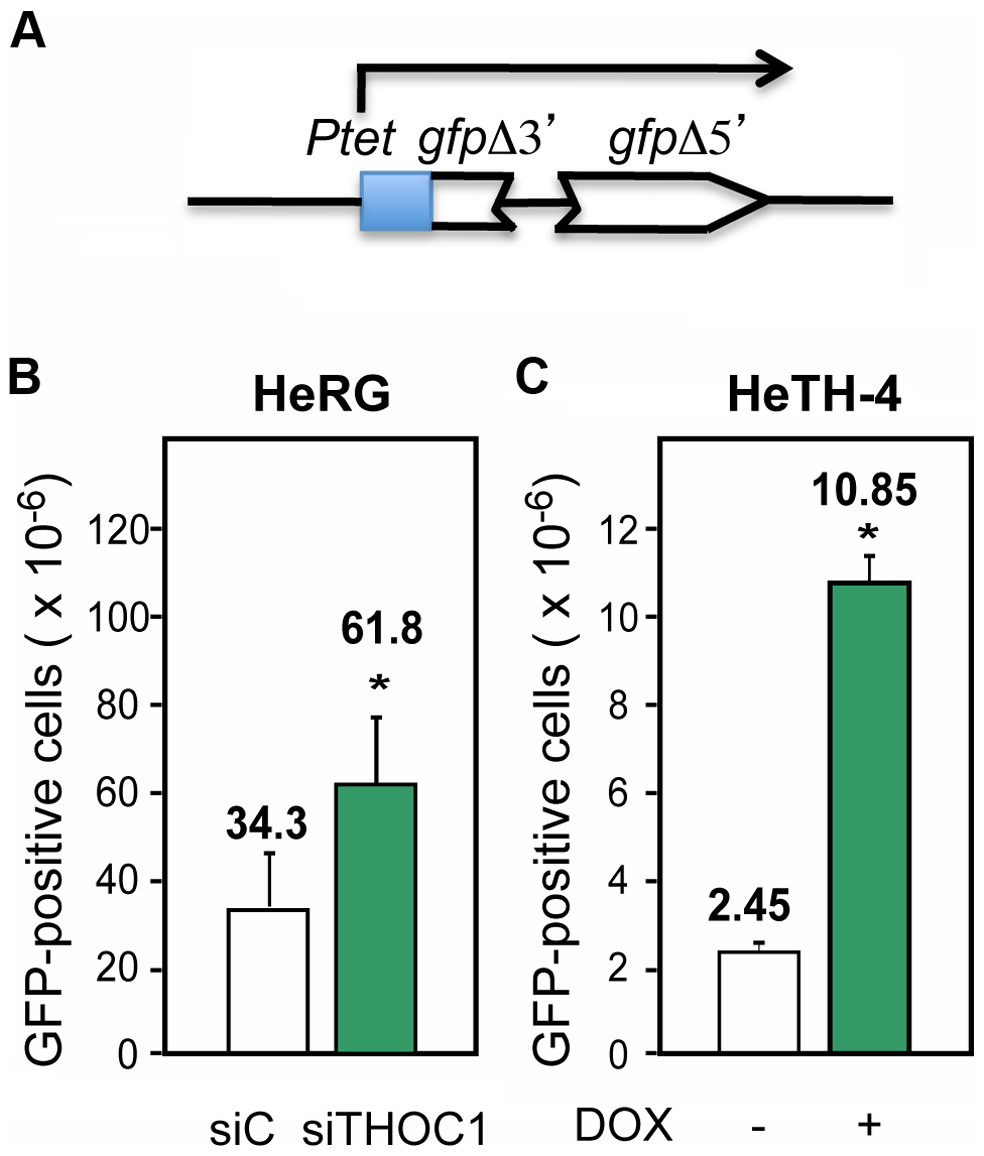 Recombination is increased after THOC1 depletion.