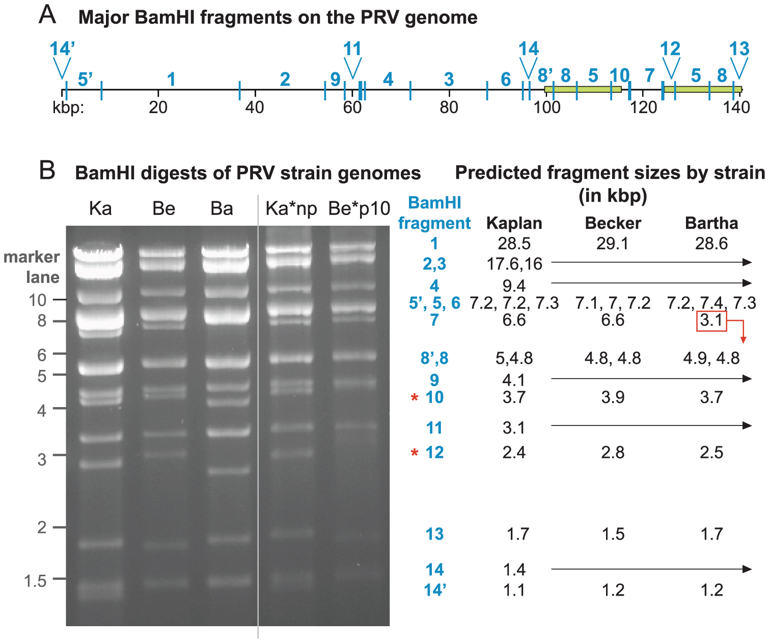 BamHI RFLP confirmation of PRV genome assemblies.