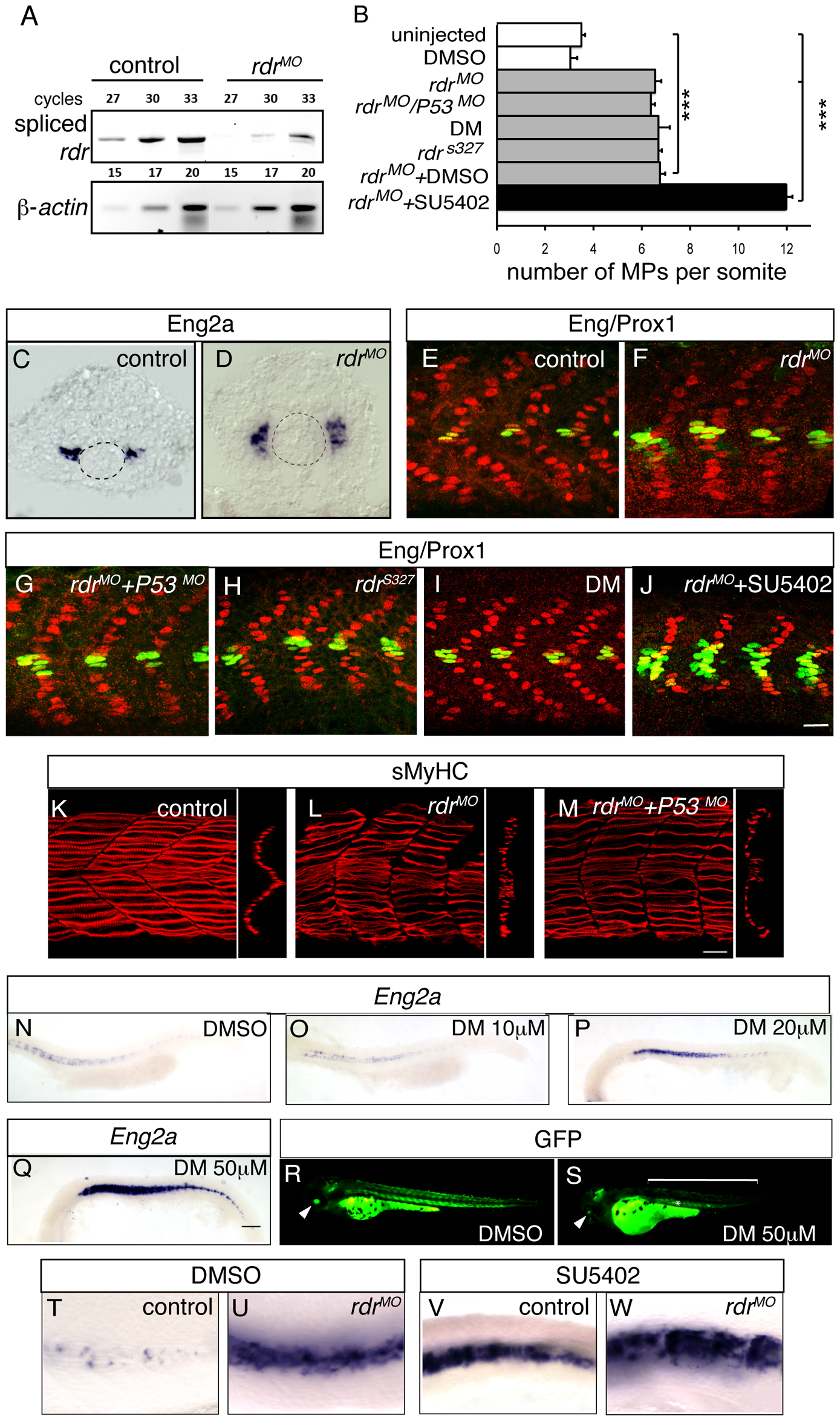 Radar or BMP signaling knock-down impairs MP formation.