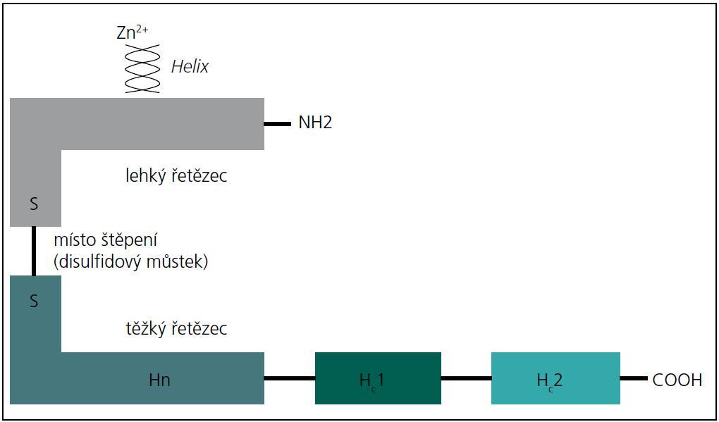 Schéma molekuly botulotoxinu.