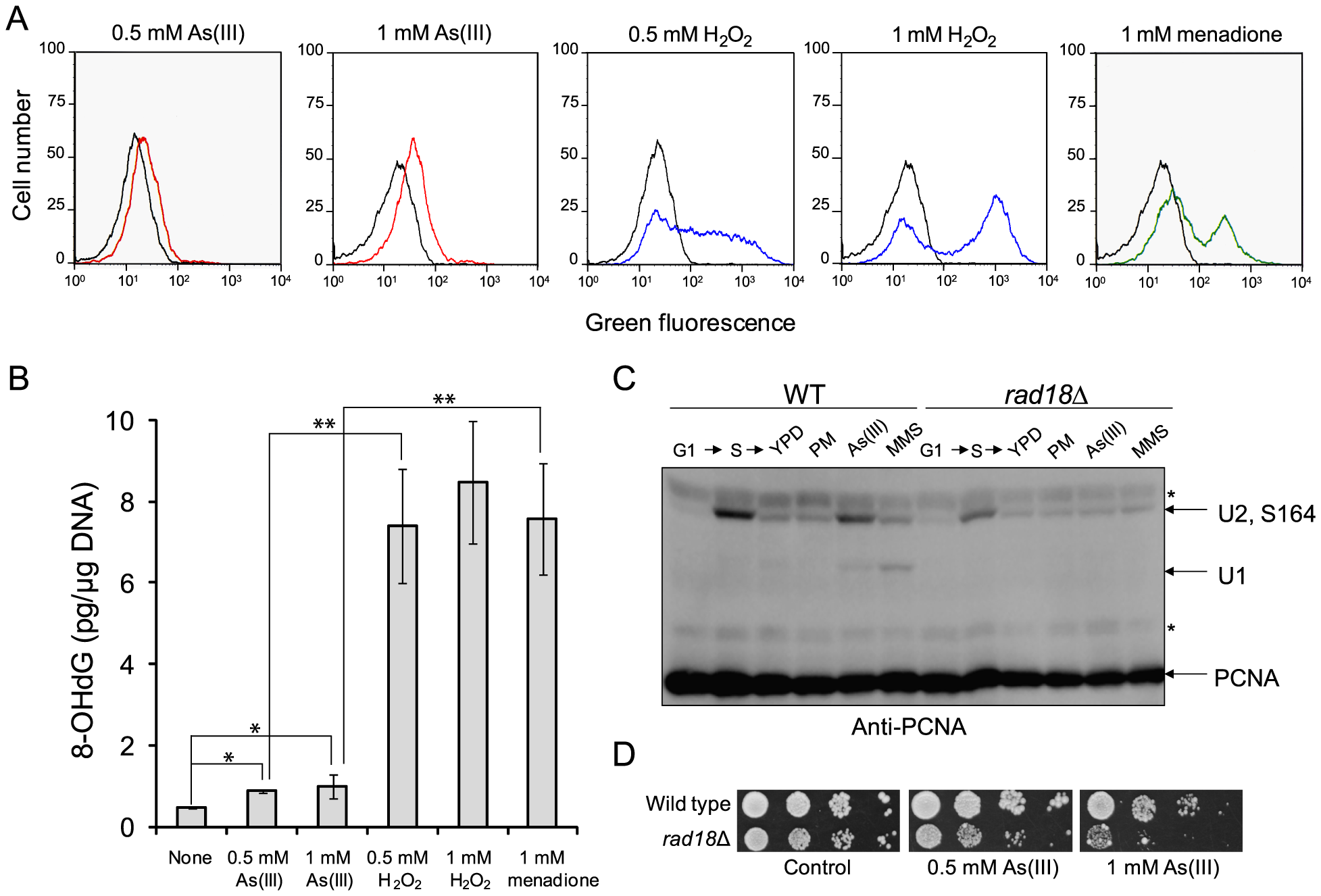 As(III) treatment induces low level of oxidative stress and replication-associated DNA damage.