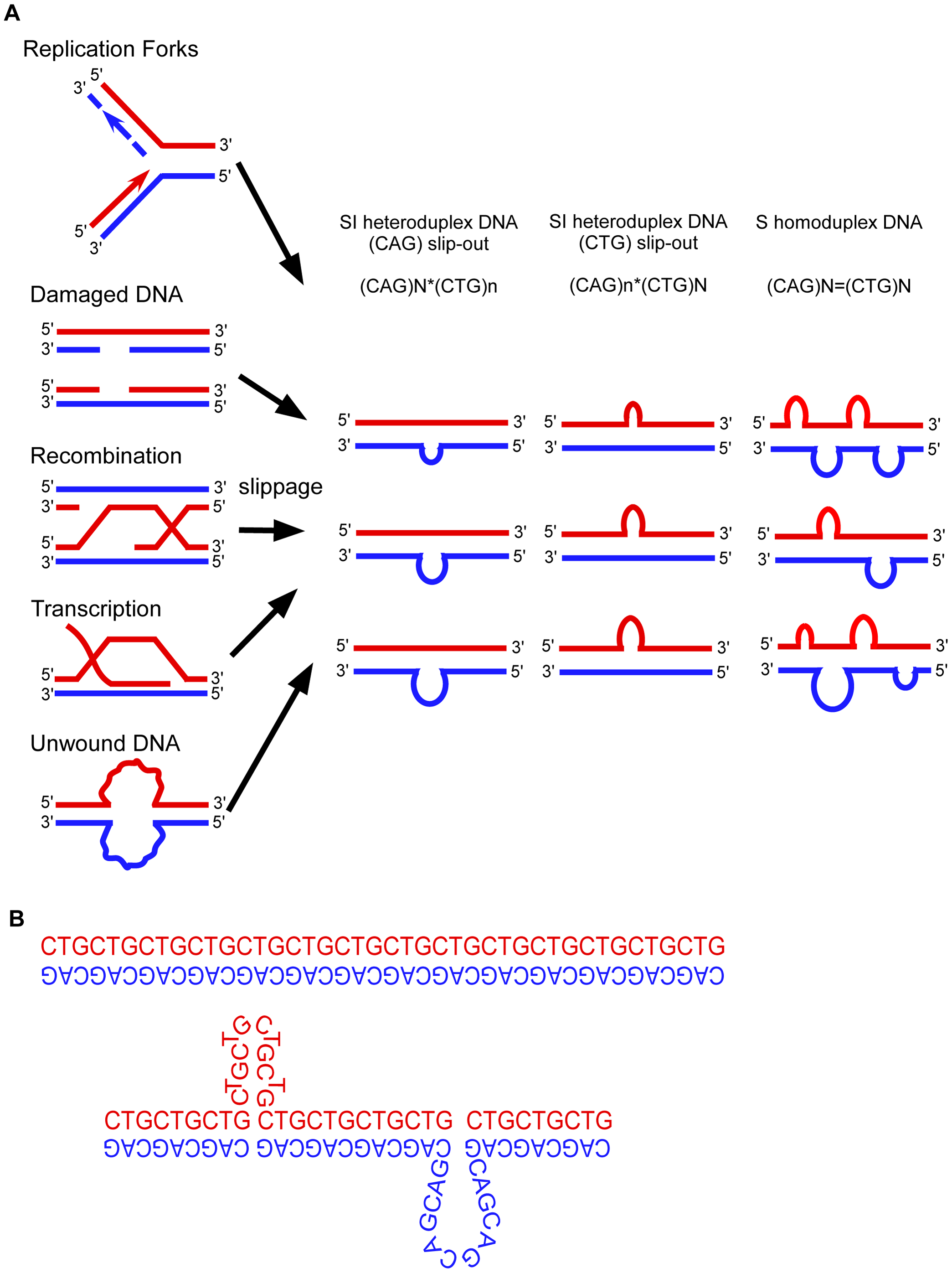 Models of expansion of trinucleotide repeats.
