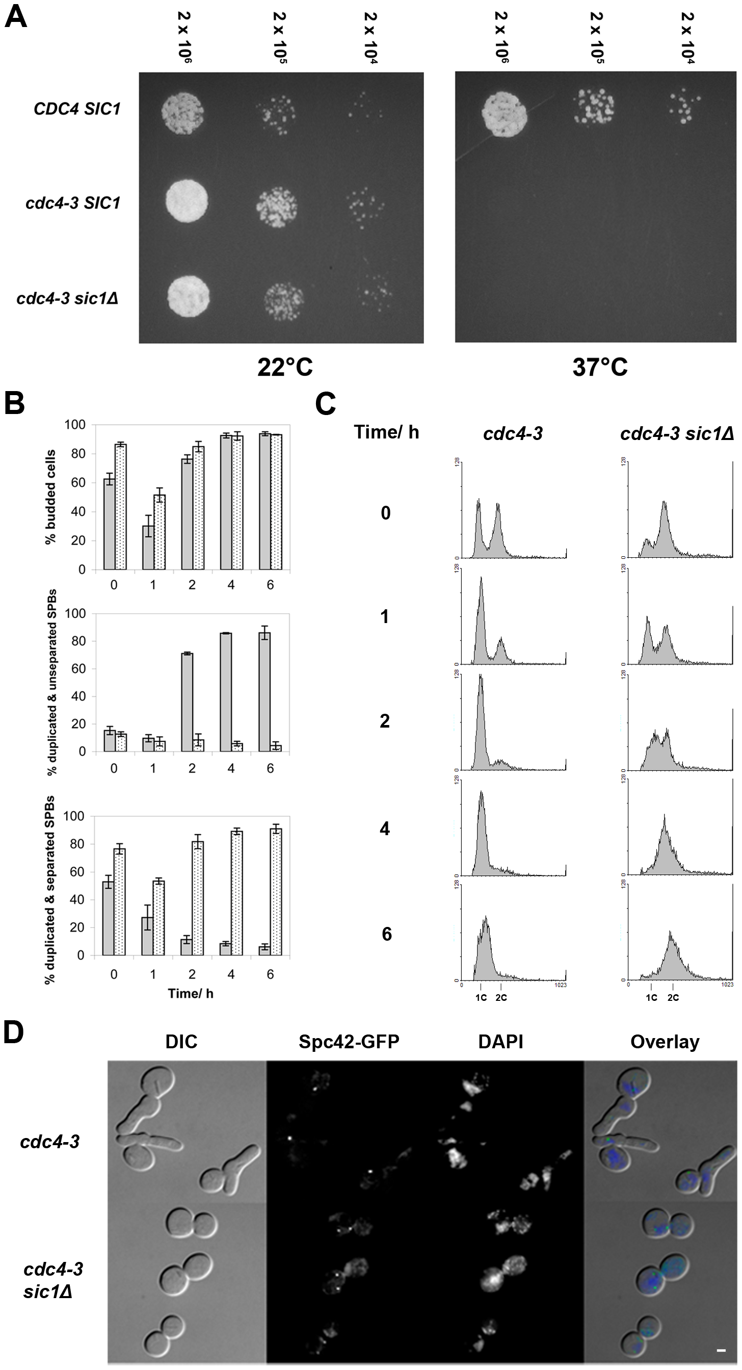 <i>SIC1</i> deletion allows SPB separation and DNA replication in <i>cdc4-3</i>(ts) cells at the restrictive temperature.