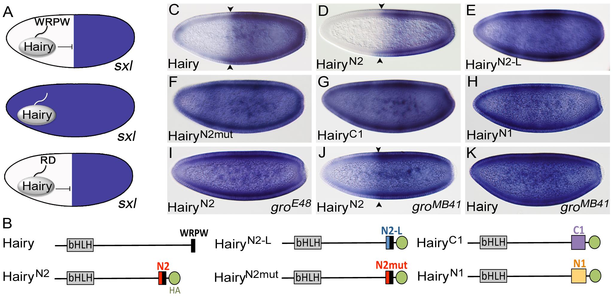 N2 is a Gro-dependent repressor motif.