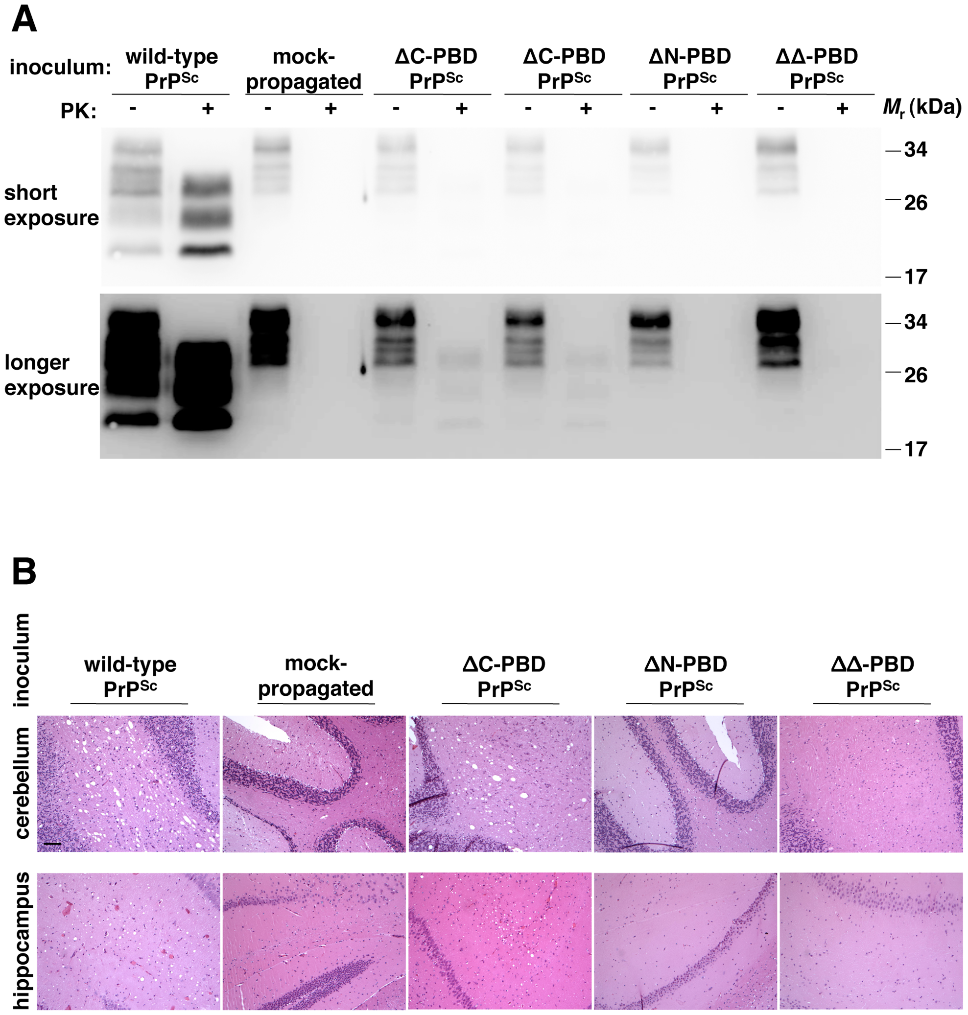 Biochemical and neuropathological analysis of mice inoculated with <i>in vitro</i>-generated PrP<sup>Sc</sup> molecules.