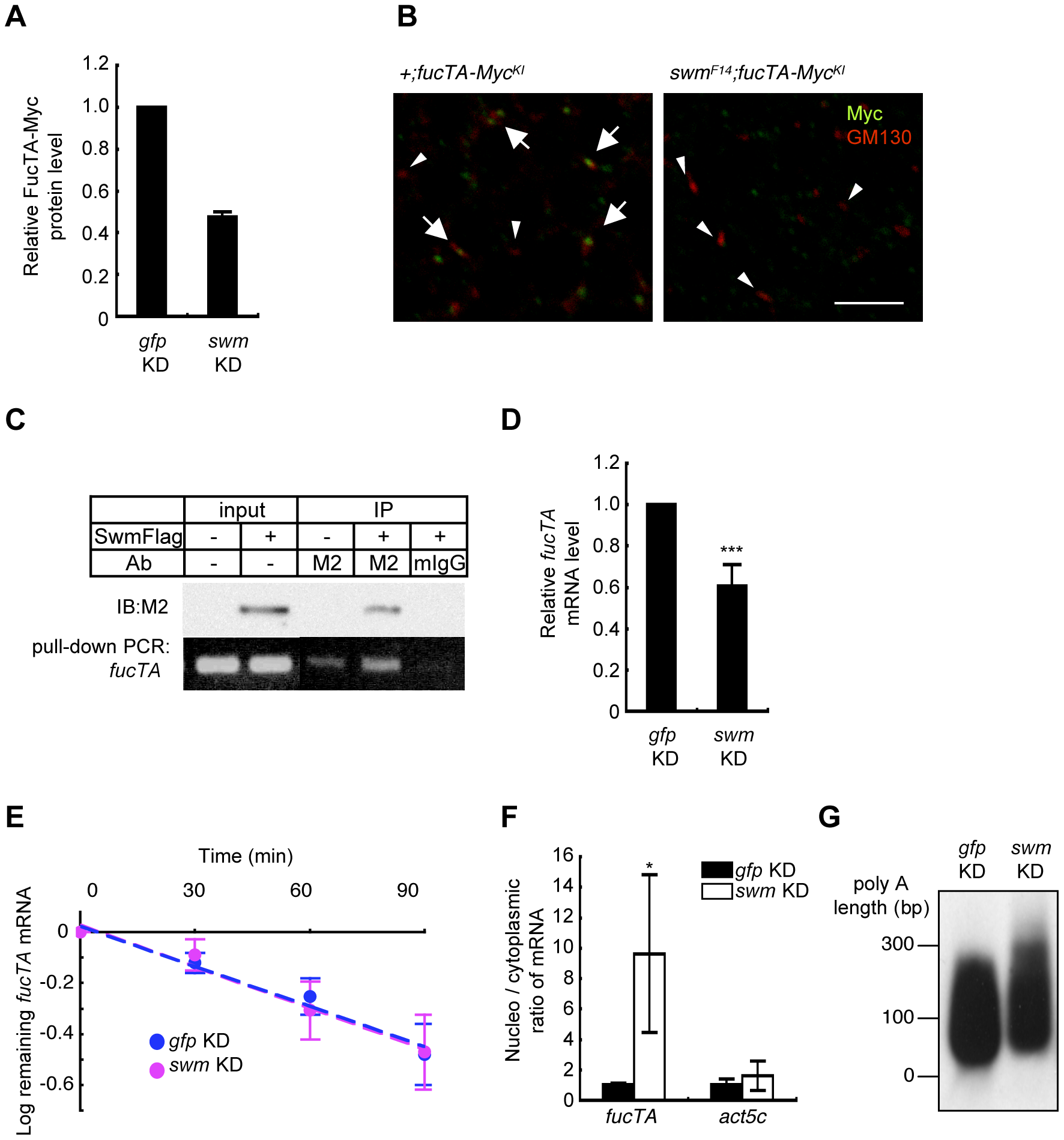 Swm regulation of expression and nuclear export of <i>fucTA</i> mRNA.