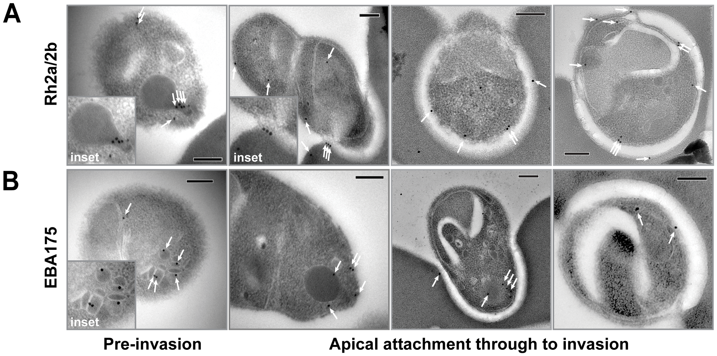 Immuno-electron microscopy localisation of PfRh2a and PfRh2b during merozoite invasion of human erythrocytes.