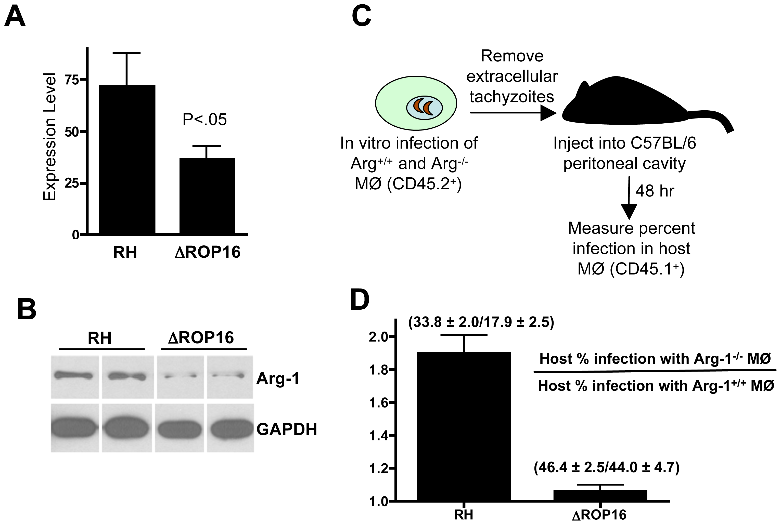 ROP16-dependent arginase-1 induction limits in vivo infection.