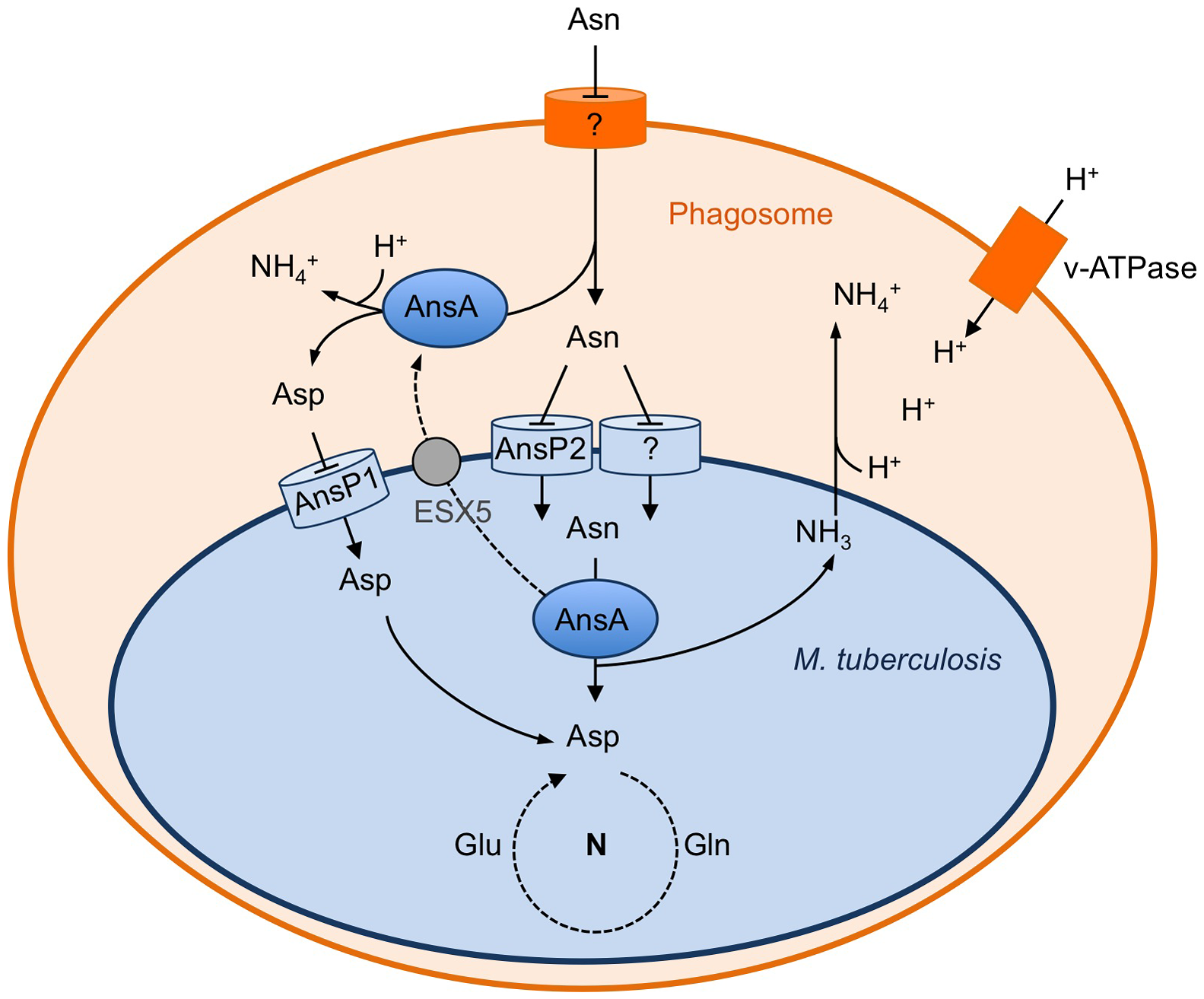 Schematic representation of the role of asparagine catabolism in nitrogen incorporation, resistance to acid and intracellular survival.