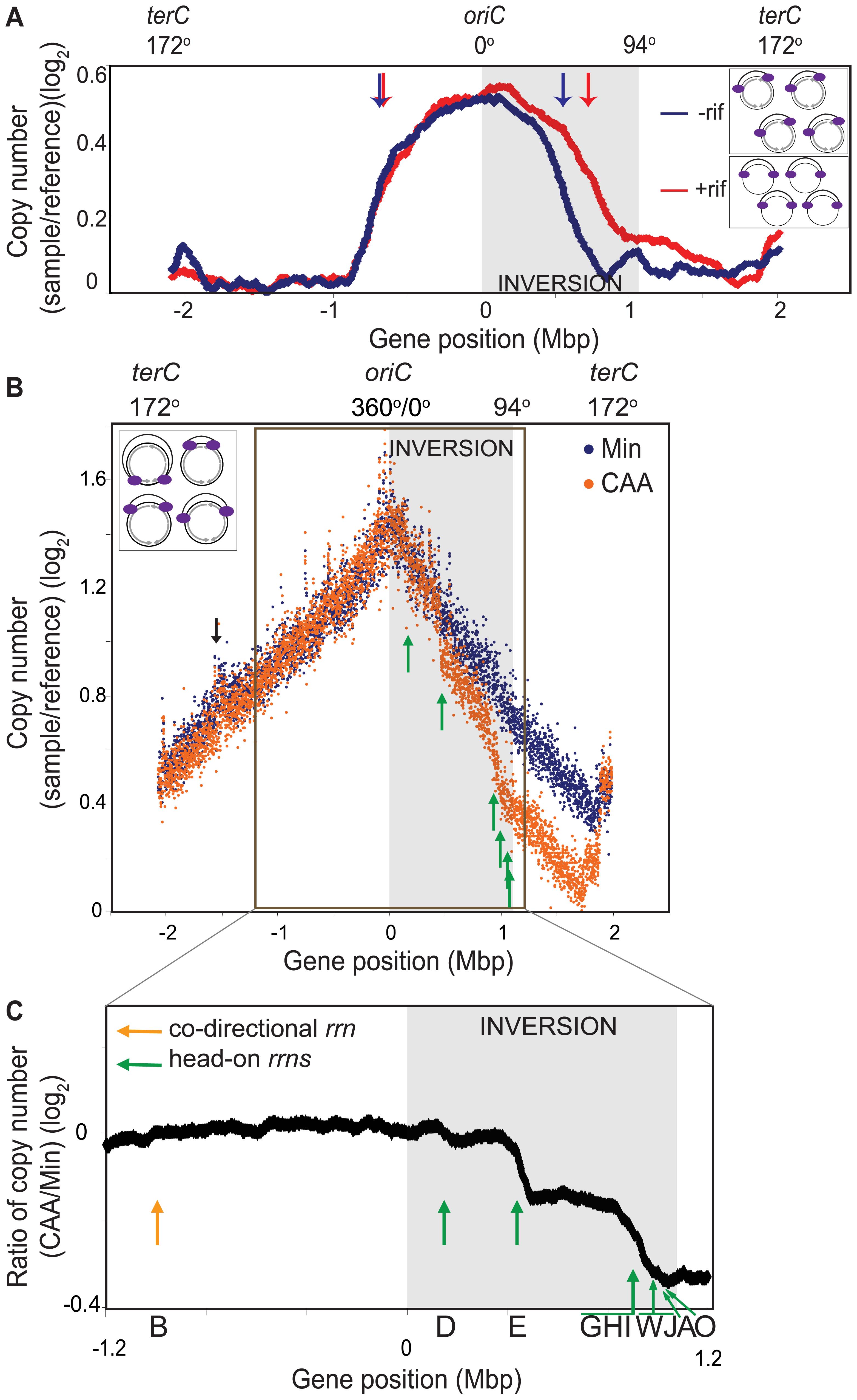 Genomic microarray profiles of the HT inversion strain.