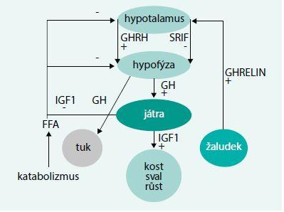 Schéma. Zjednodušené schéma regulace sekrece a účinků růstového hormonu
