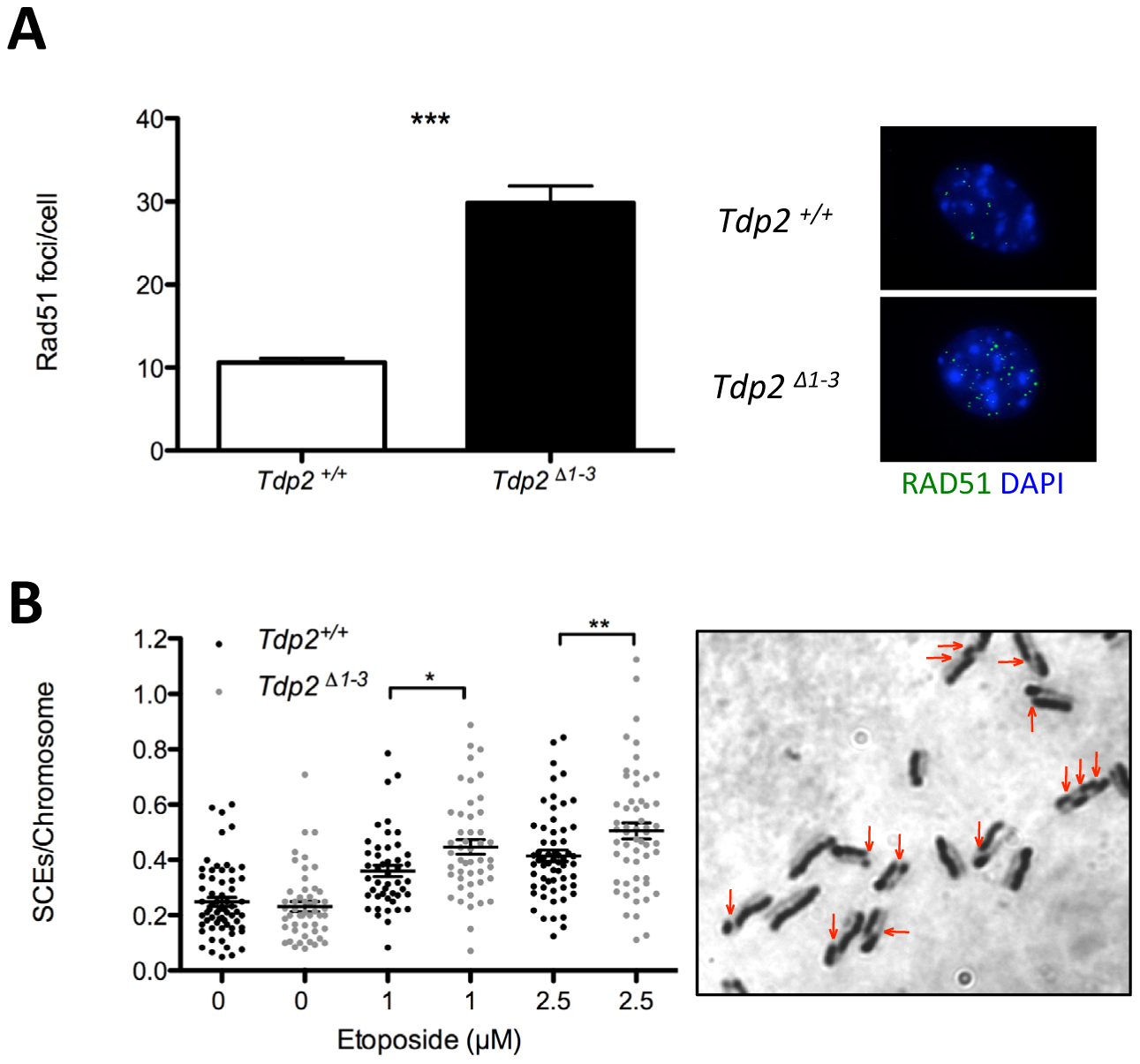 The absence of TDP2 increases etoposide induced homologous recombination.