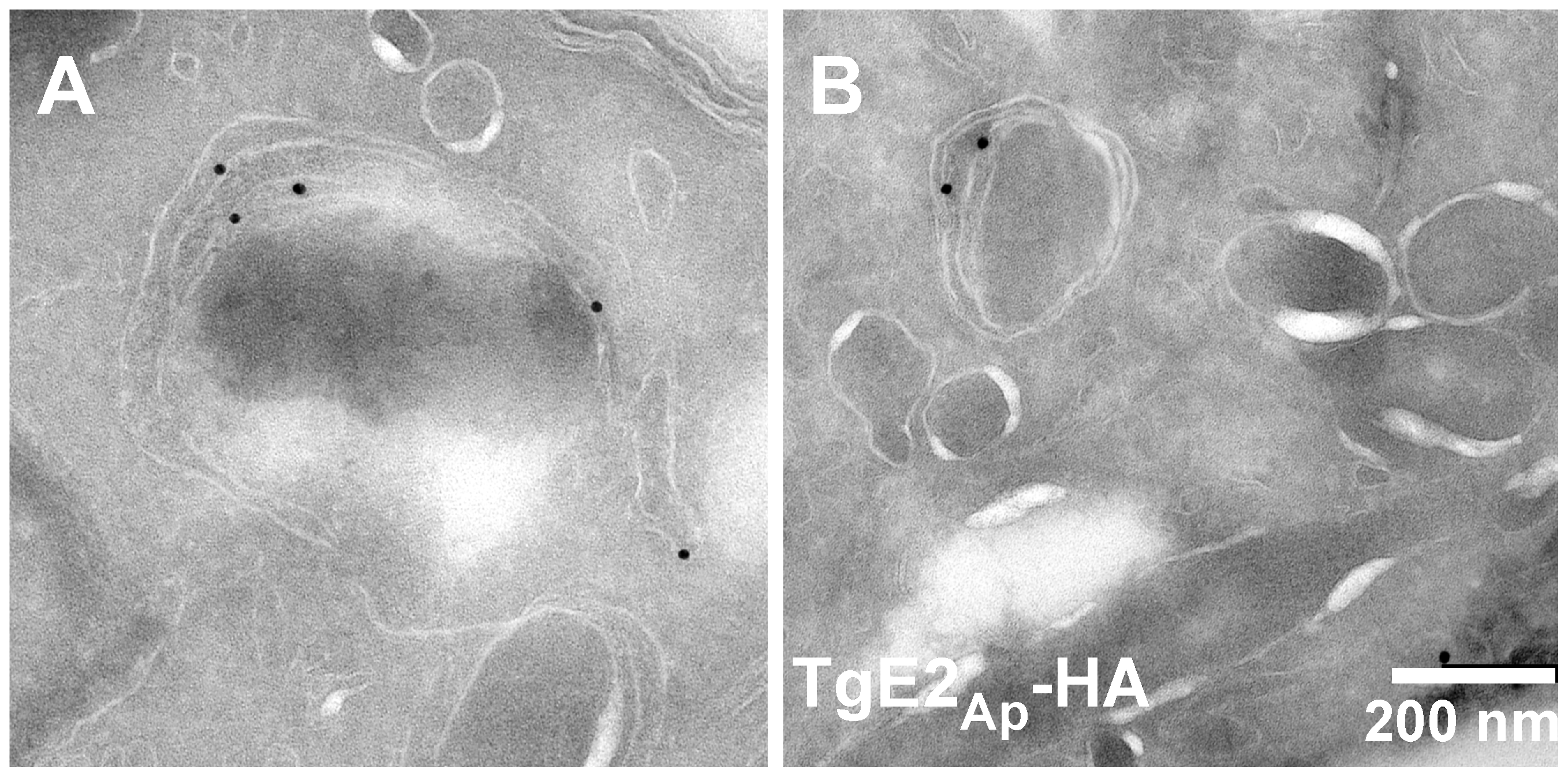 TgE2<sub>Ap</sub> is localized to the periphery of the apicoplast.
