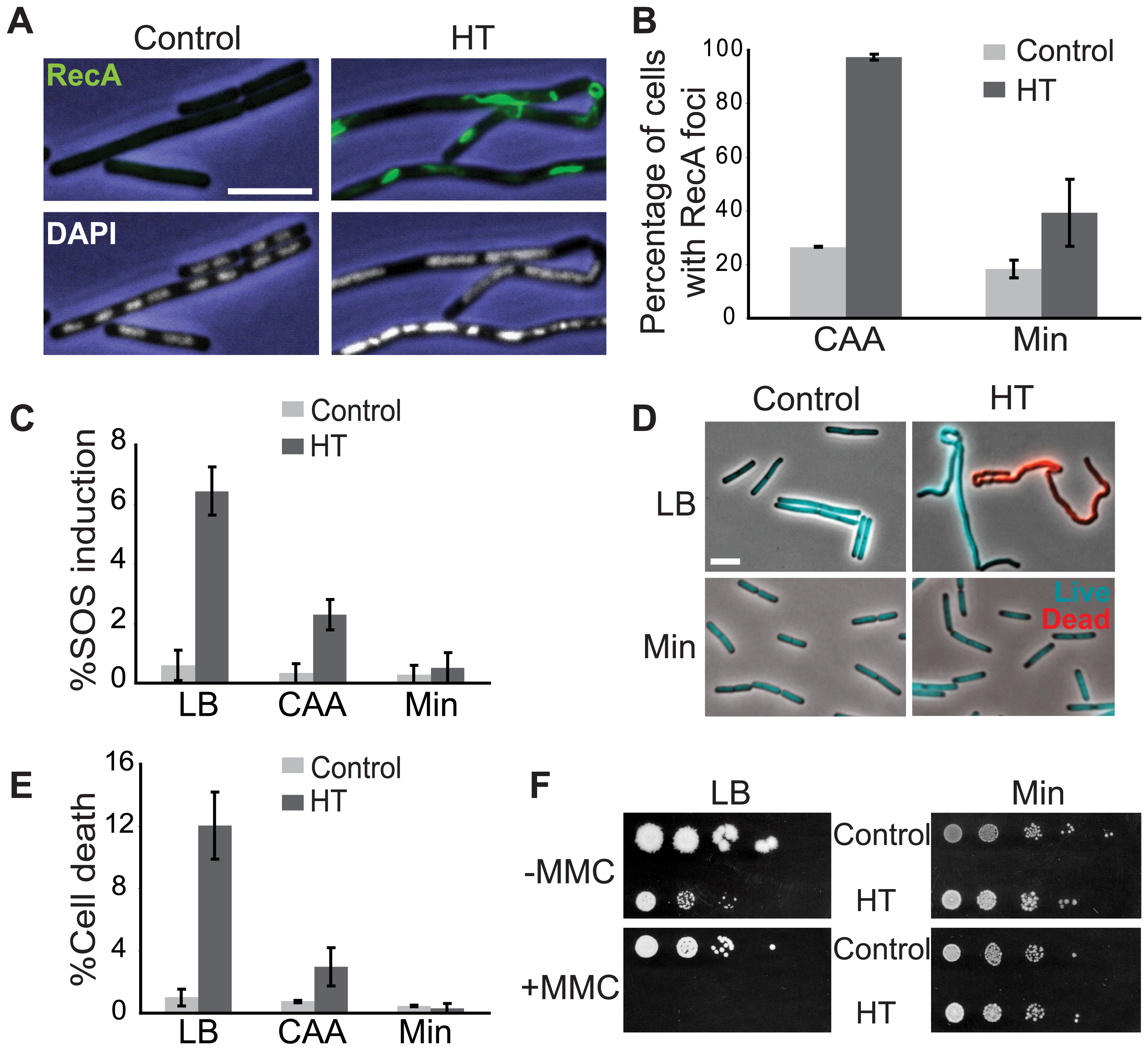 The HT strain exhibits disruption of DNA replication and loss of genome integrity.