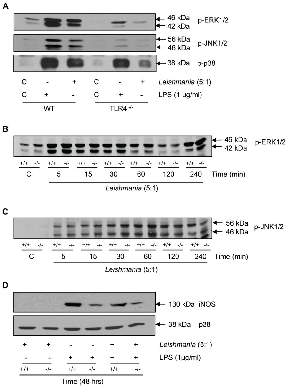 Macrophage activation by <i>Leishmania mexicana</i>.