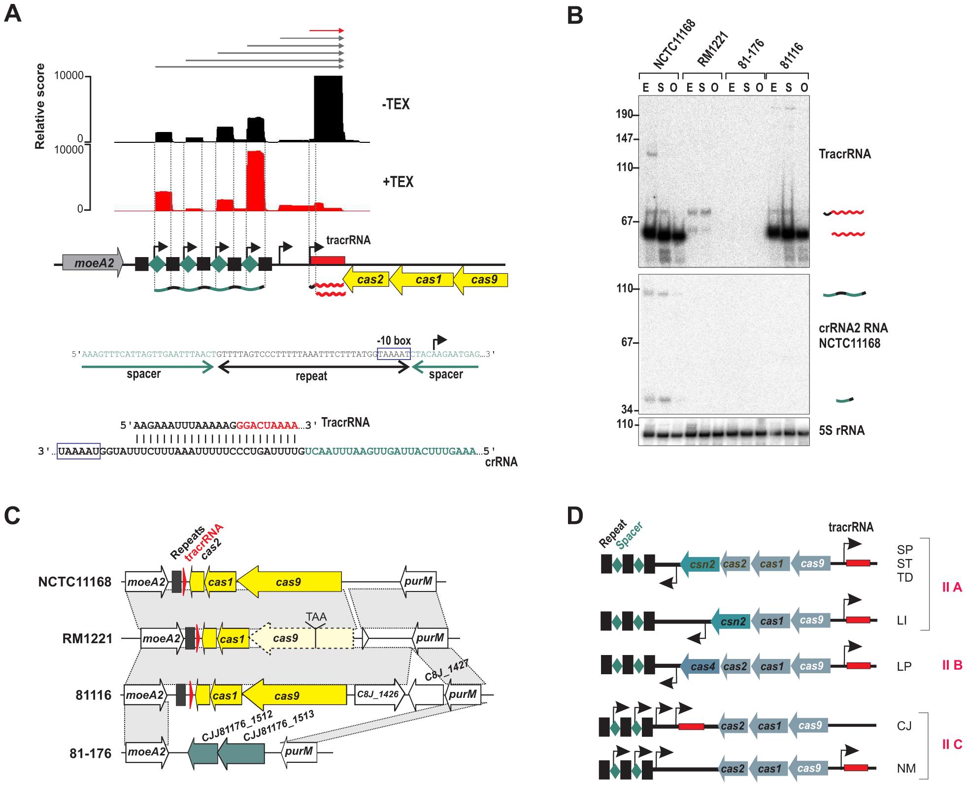 A minimal CRISPR in <i>Campylobacter jejuni</i>.