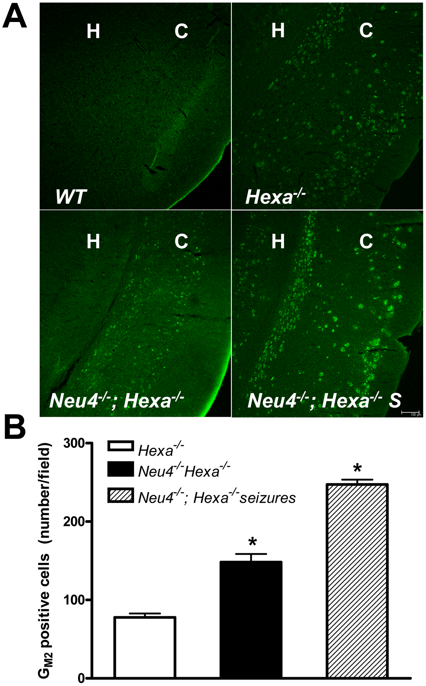 Increased accumulation of G<sub>M2</sub> ganglioside in brain neurons of double knockout <i>Neu4<sup>−/−</sup>; Hexa<sup>−/−</sup></i> mice.