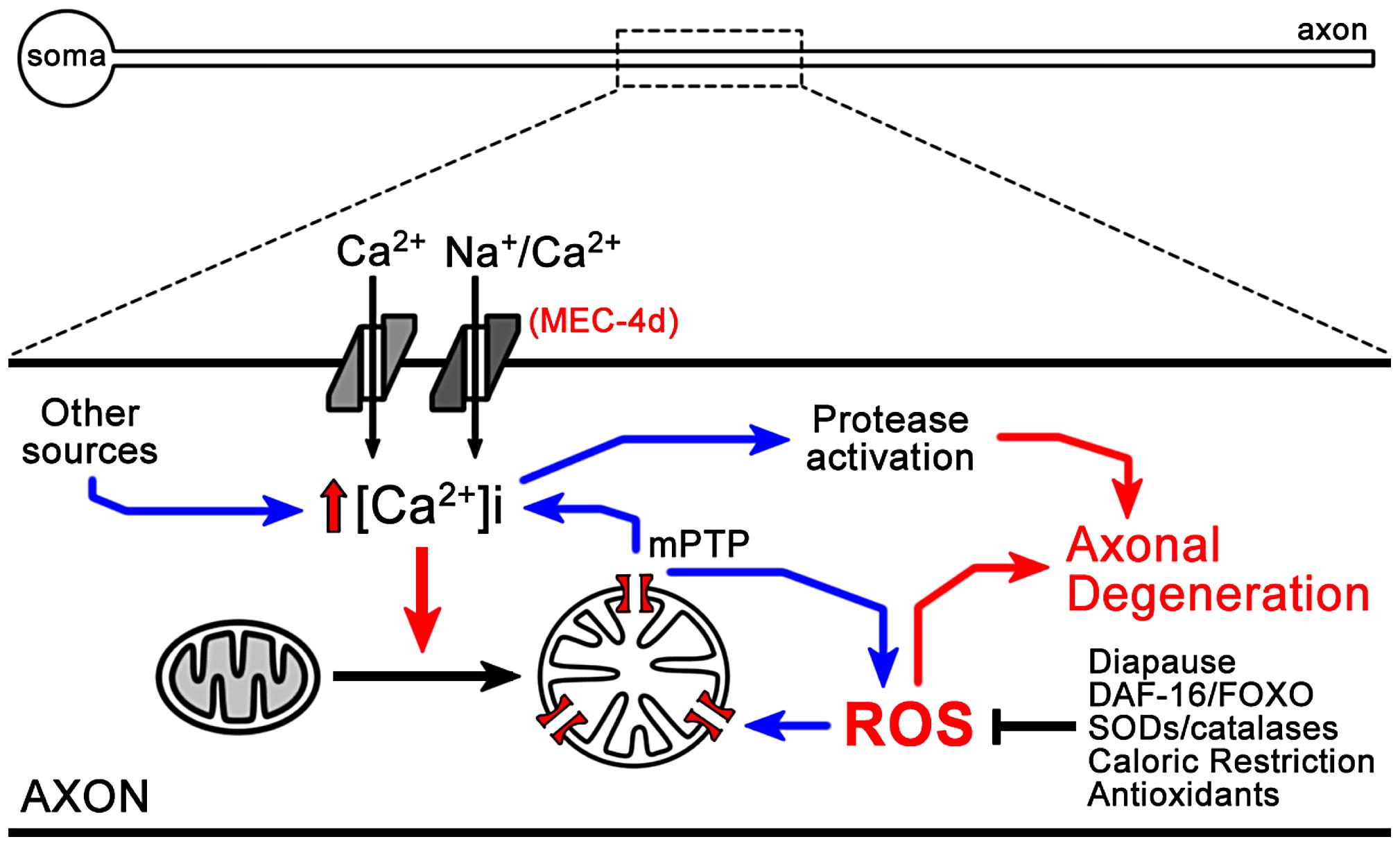 Model of ROS dependent neuronal degeneration.