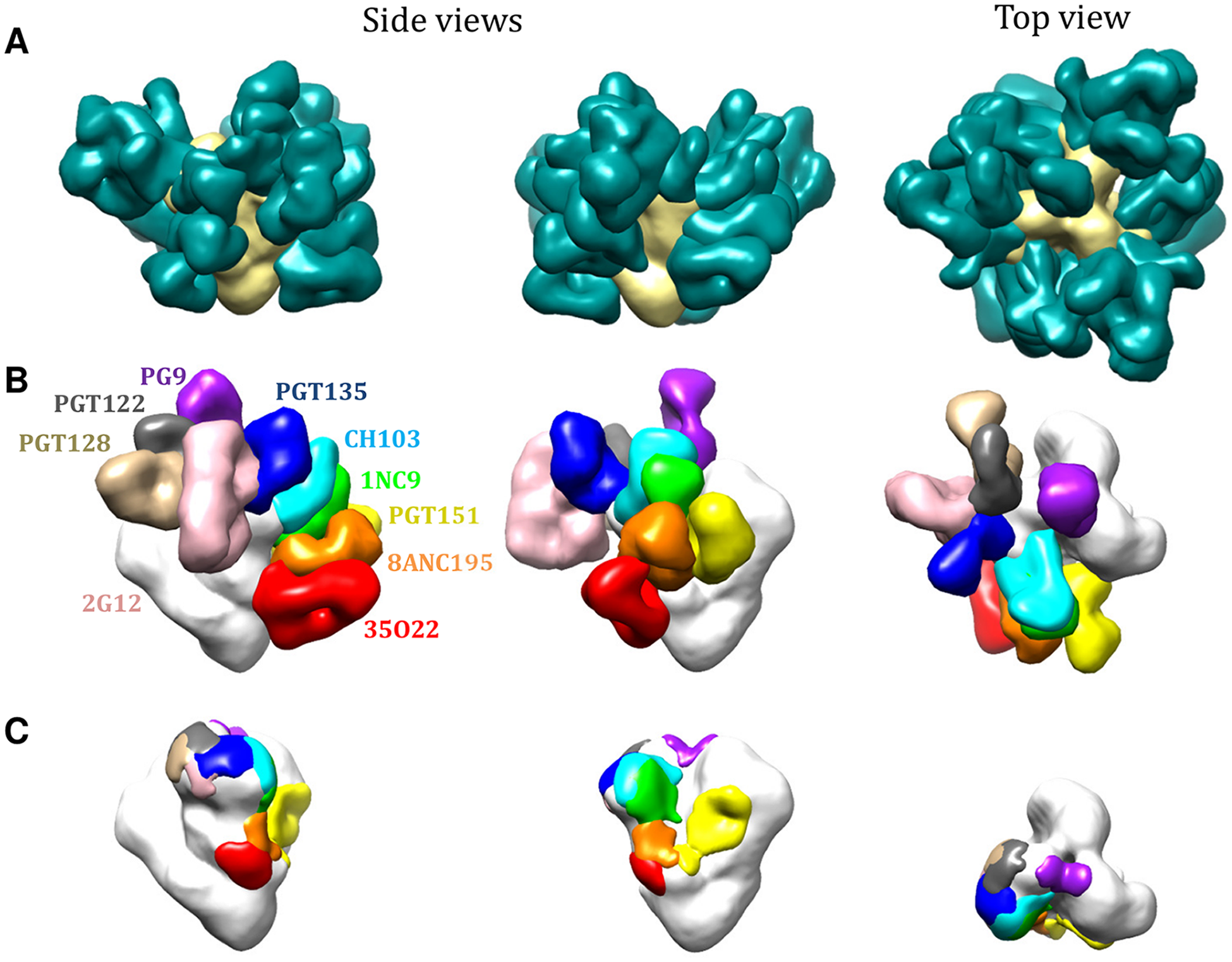 bNAb epitopes mapped onto the 3D structure of the BG505 SOSIP.664 trimer.