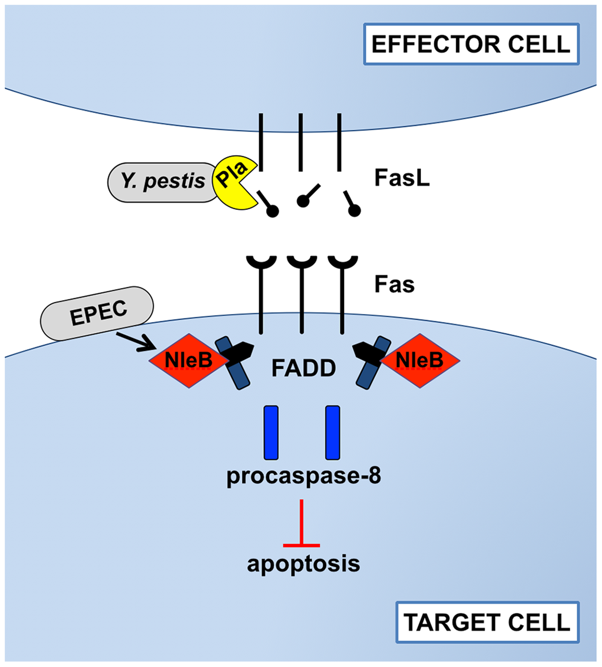 Disruption of Fas-FasL signaling by Pla of <i>Y. pestis</i> and NleB of EPEC.