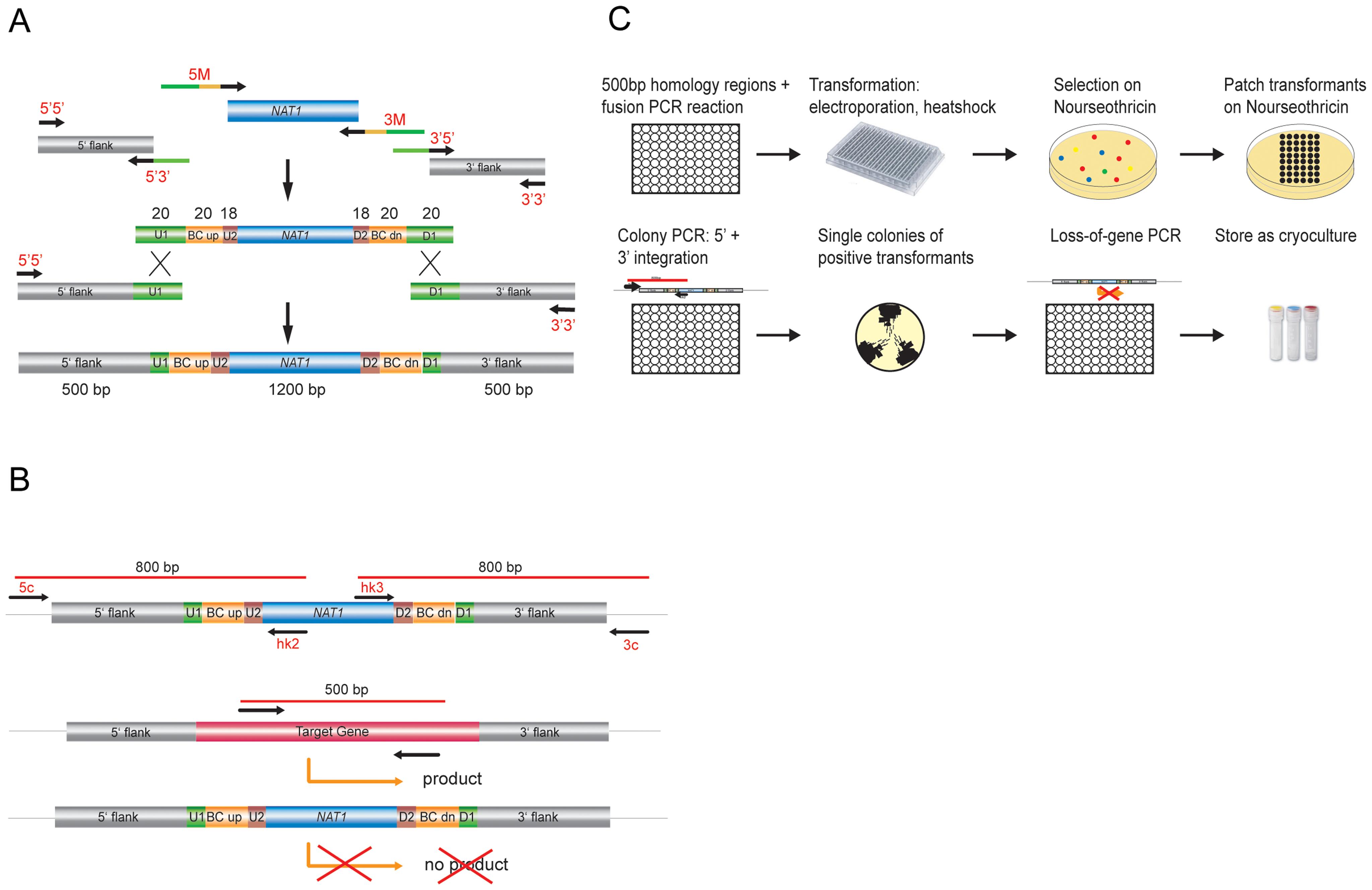Generation of <i>C. glabrata</i> mutants and systematic phenotypic analysis.