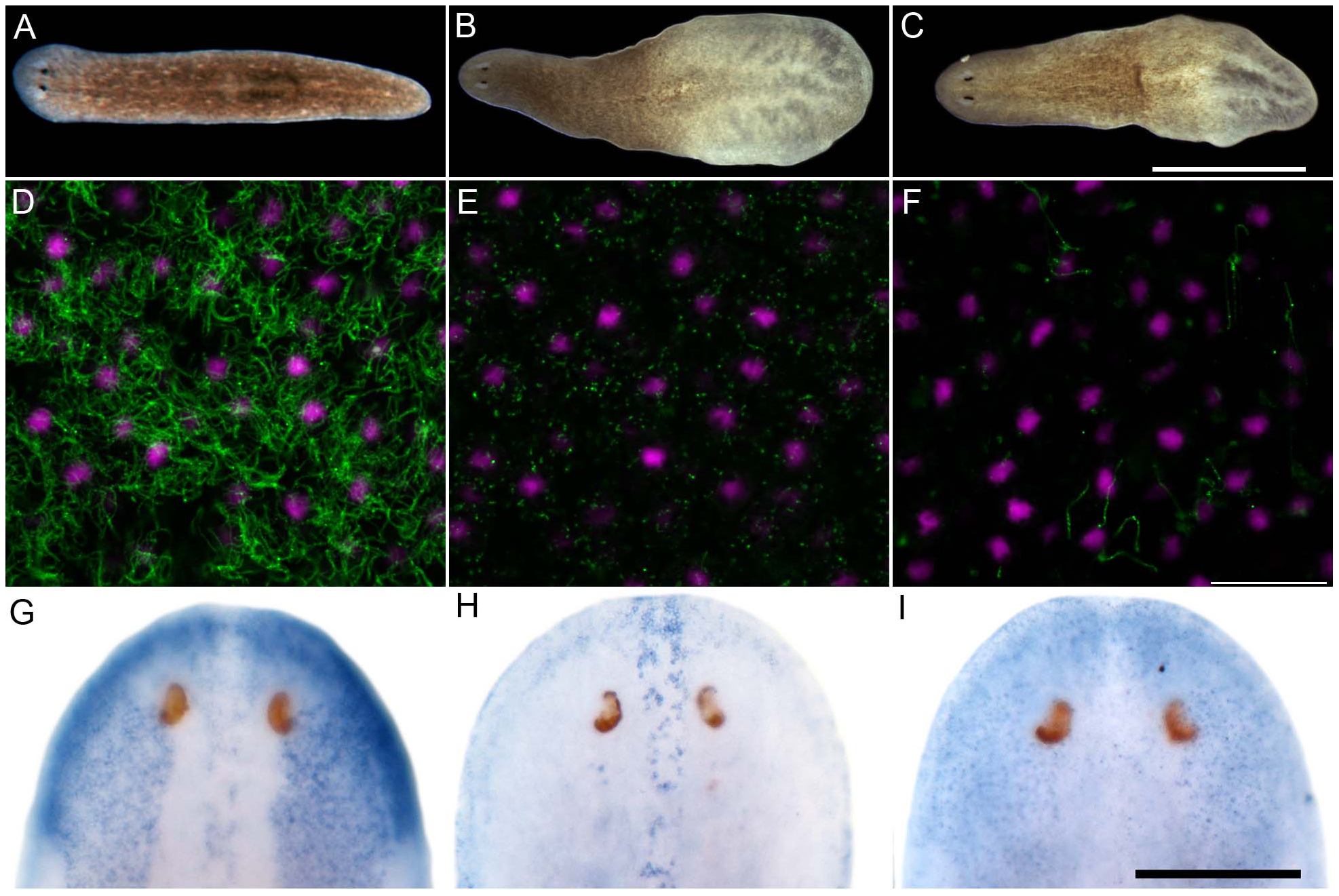 <i>S. mediterranea foxJ1-4</i> is required for the differentiation of motile cilia.