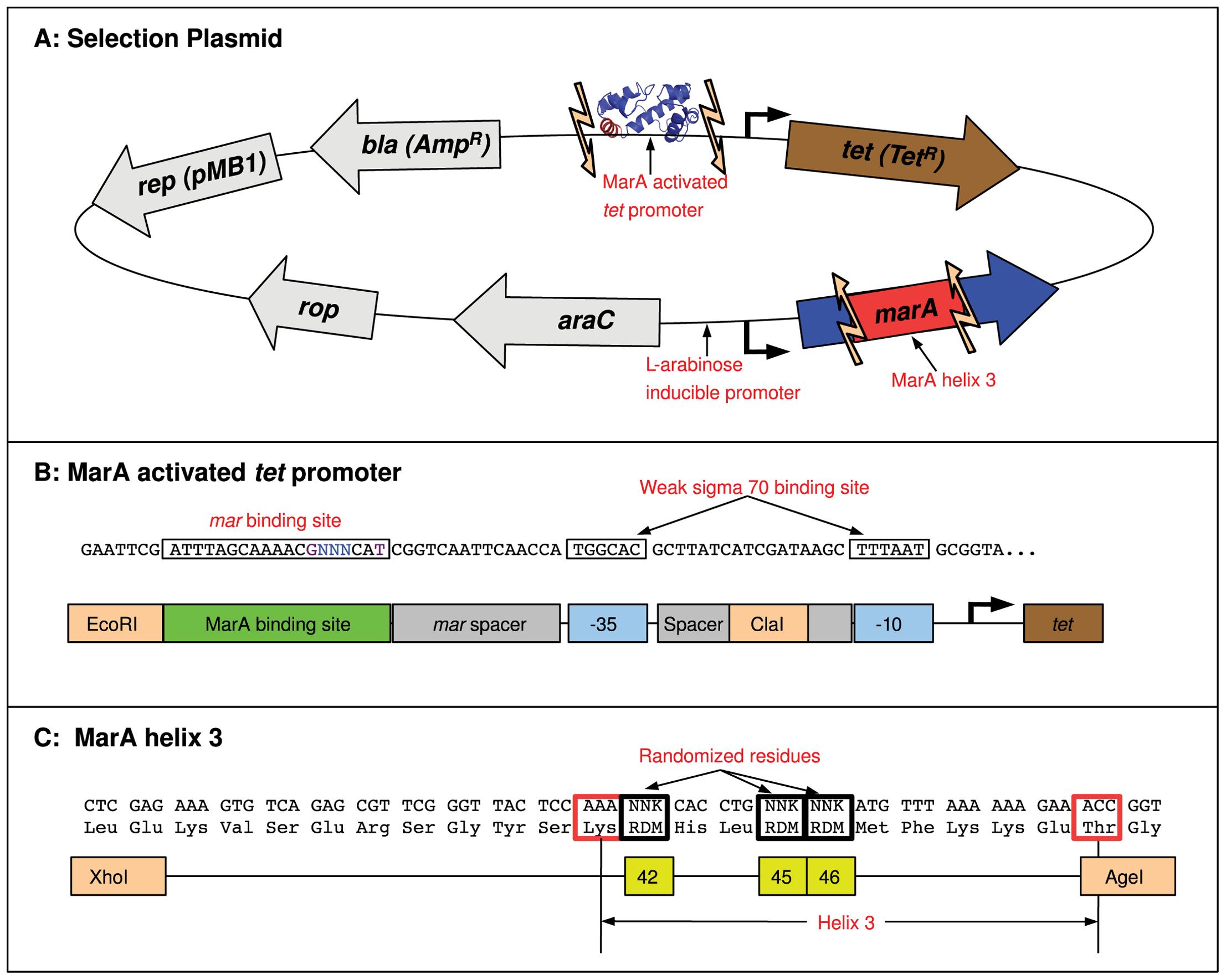 MarA binding domain selection system.