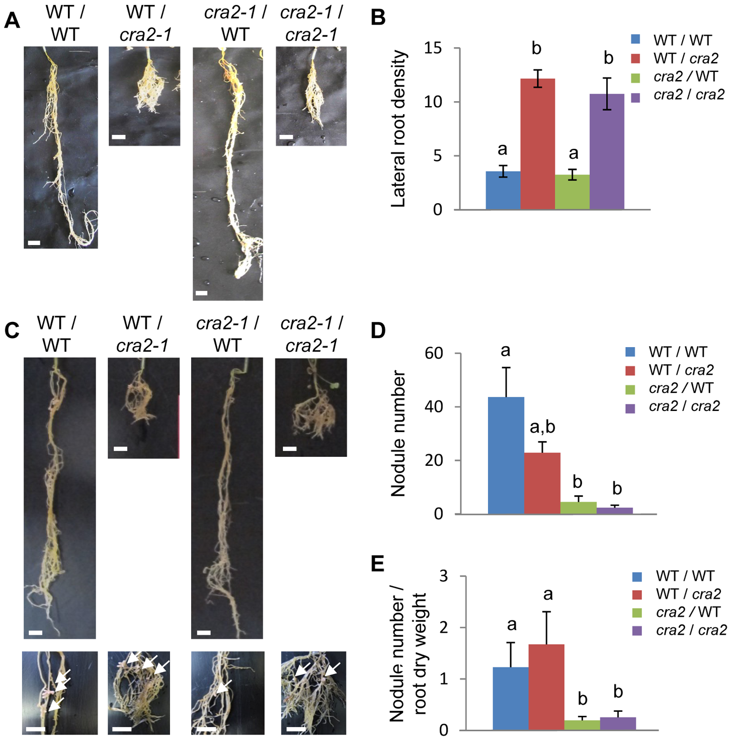 <i>CRA2</i> locally regulates lateral root formation and systemically regulates symbiotic nodule formation from the shoots.