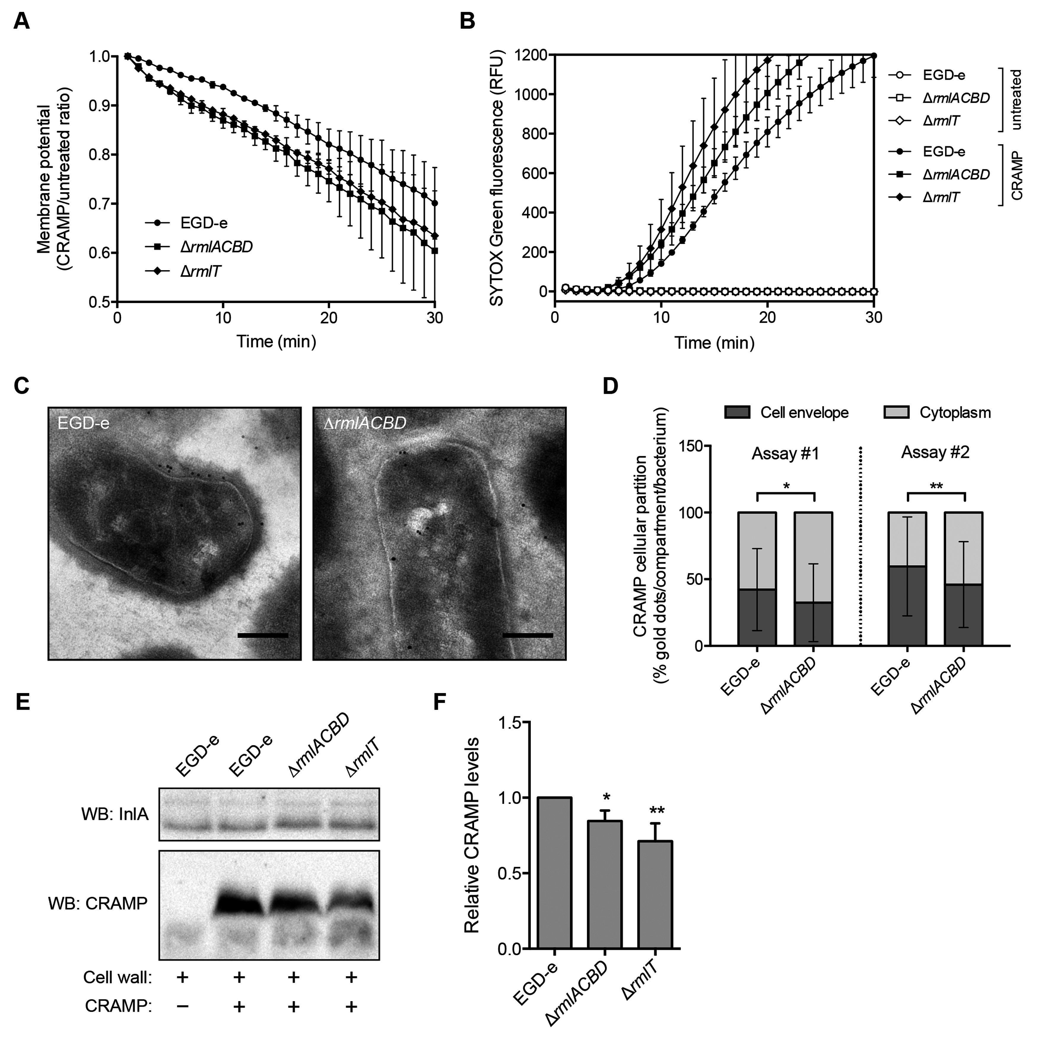 WTA l-rhamnosylation delays AMP interaction with the <i>Lm</i> plasma membrane.