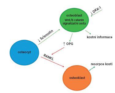 Procesy v kostní tkáni u ankylozující spondylitidy. U ankylozující spondylitidy byla prokázaná nízká sérová hladina sclerostinu a dikkopf-1 (DKK-1), proteinů inhibujících Wnt/β katenin signalizační cestu. Nedostatečná inhibice této dráhy vede ke zvýšené produkci osteoprotegerinu (OPG), molekuly inhibující receptorový aktivátor jádrového faktoru (RANKL), který je zodpovědný za zvýšenou resorpci kosti (80,92)