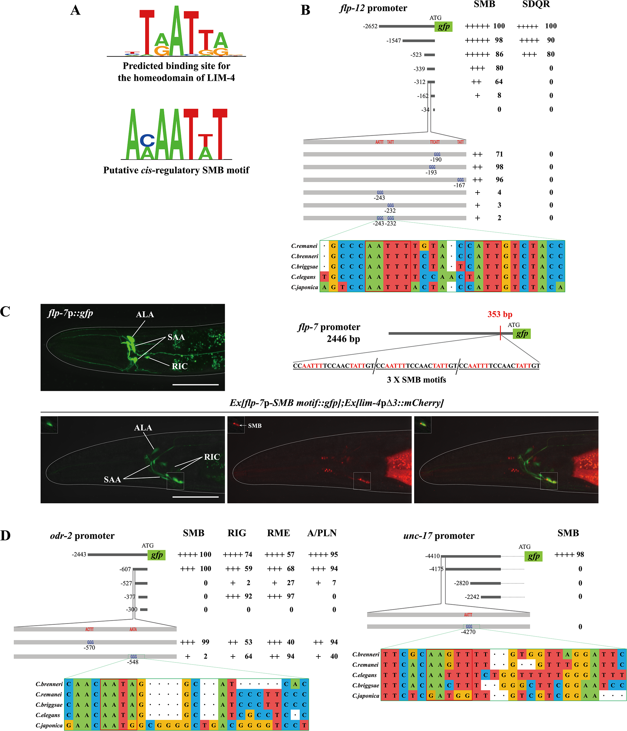 A <i>cis</i>-regulatory motif is necessary and sufficient to drive expression of terminally differentiated SMB markers.