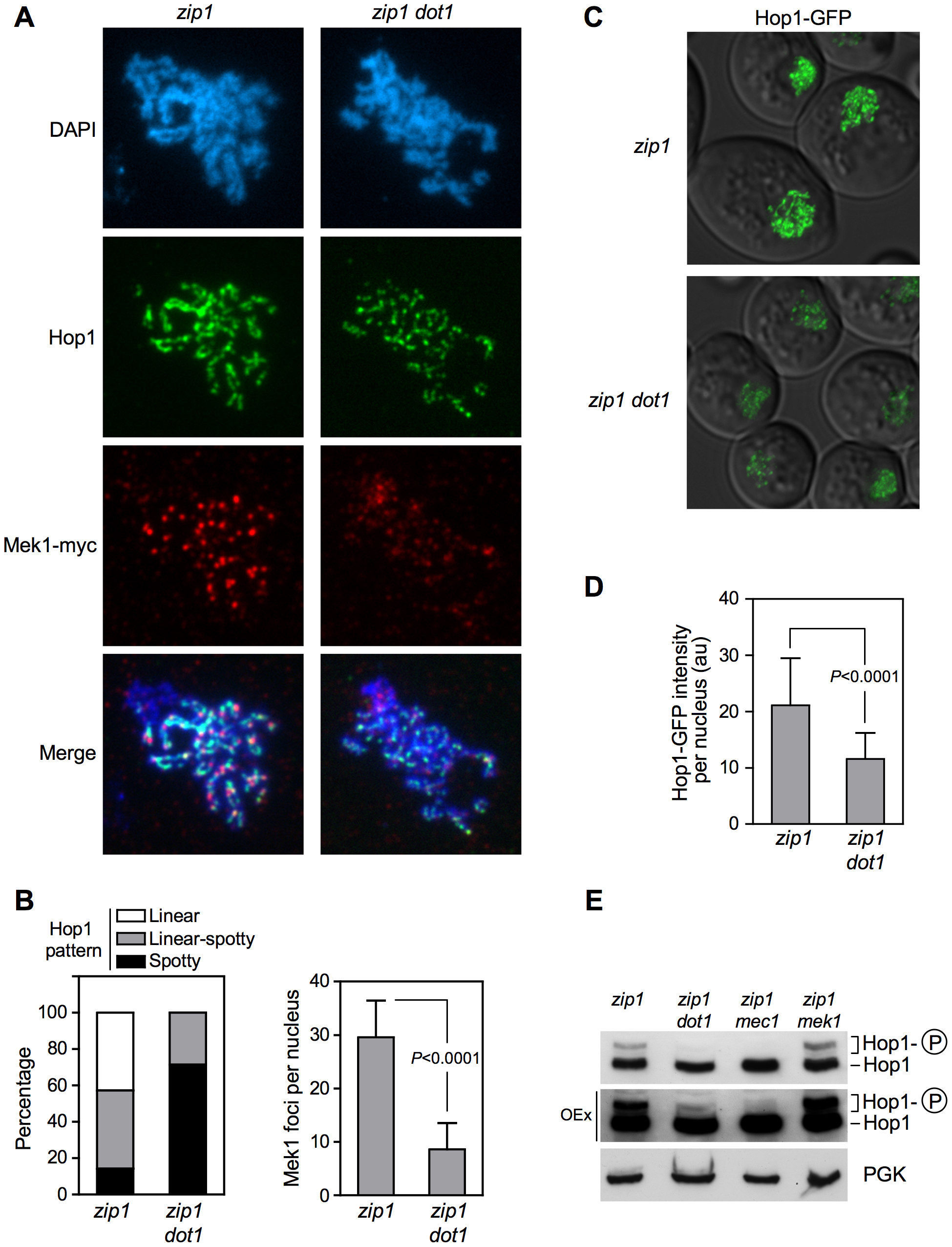 Dot1 is required for <i>zip1</i>-induced localization and activation of the Hop1 meiotic checkpoint adaptor.
