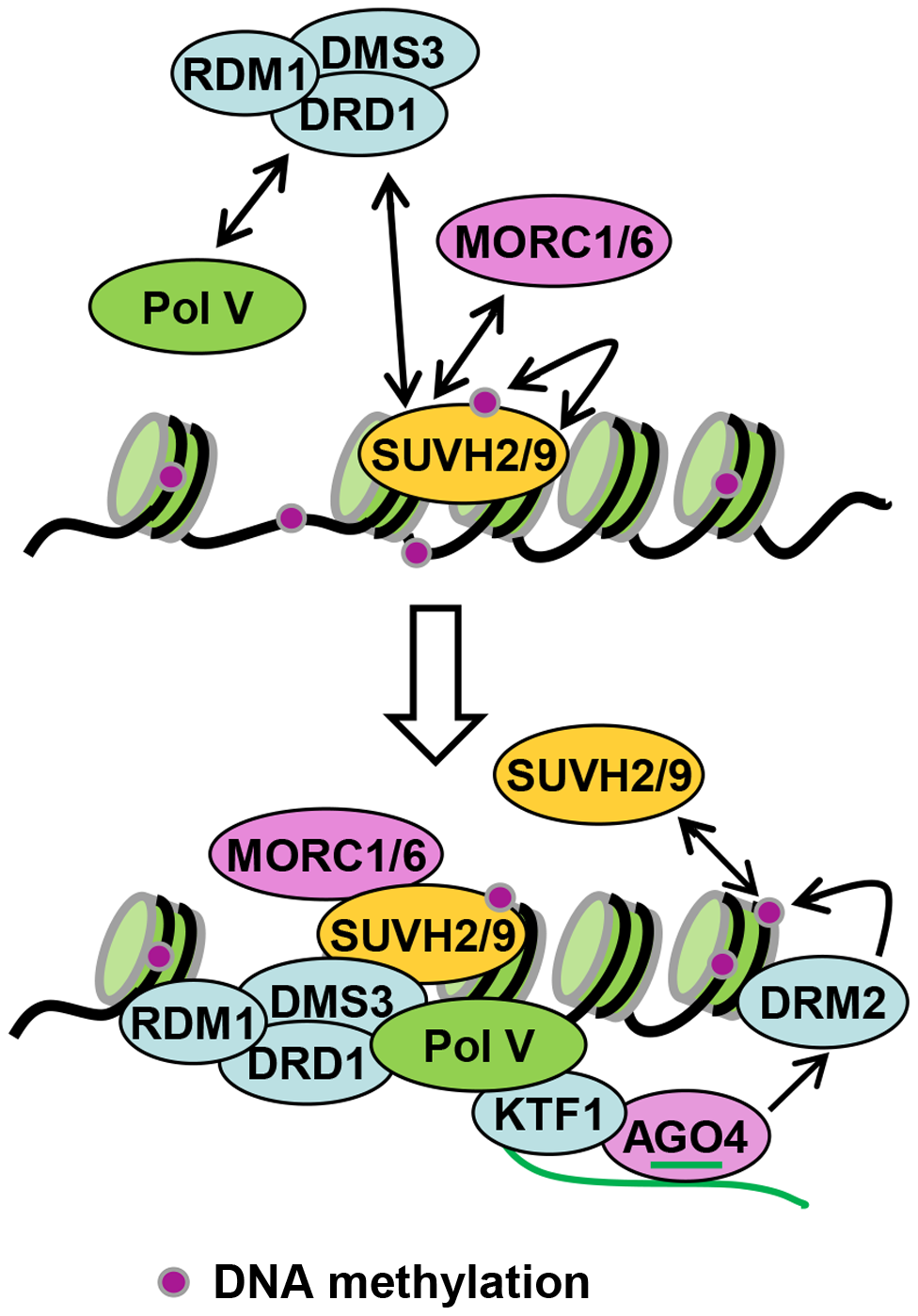 Model for the role of SUVH2, SUVH9 in RdDM.