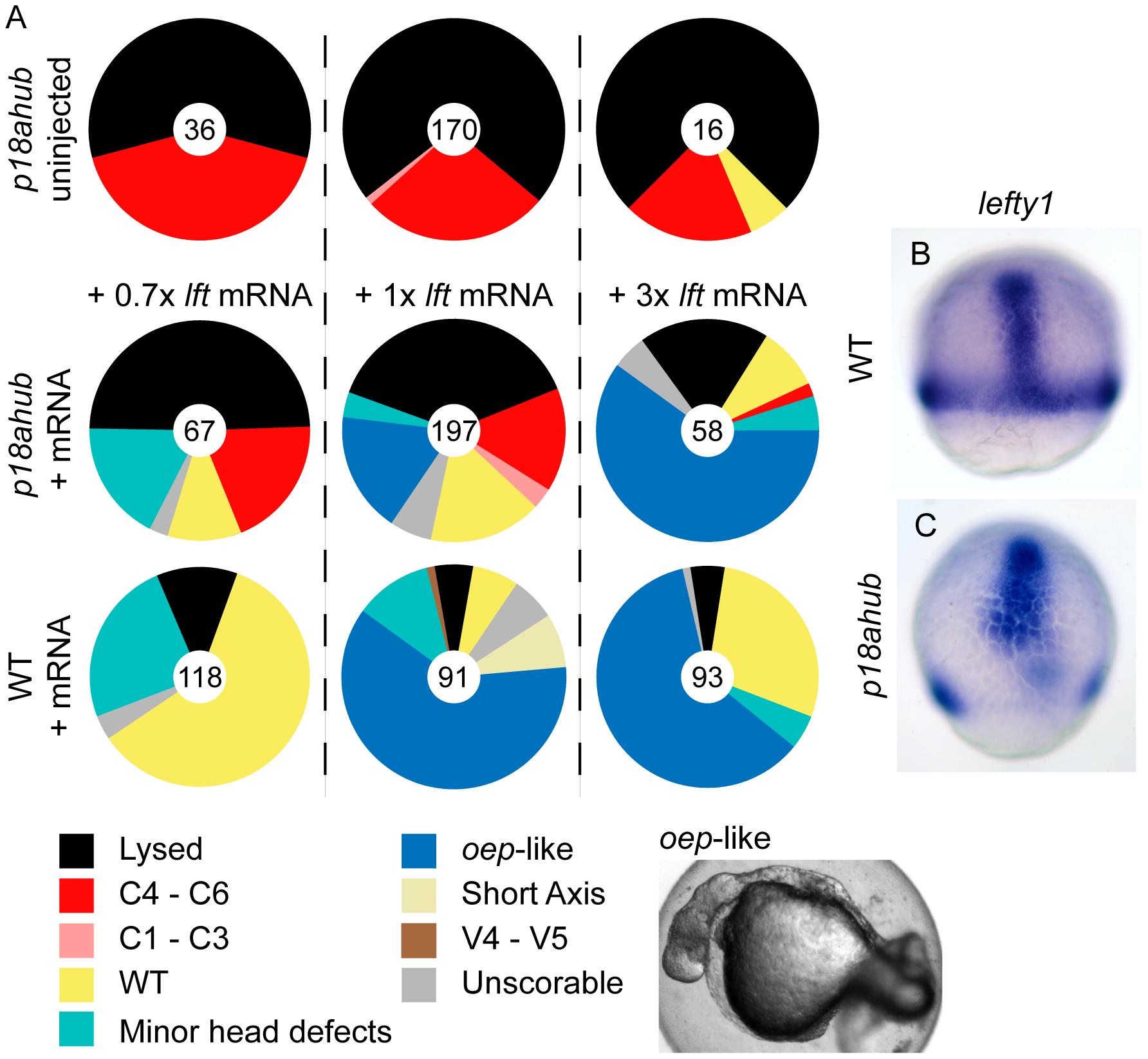 Lefty misexpression suppresses patterning defects of <i>p18ahub</i> embryos.