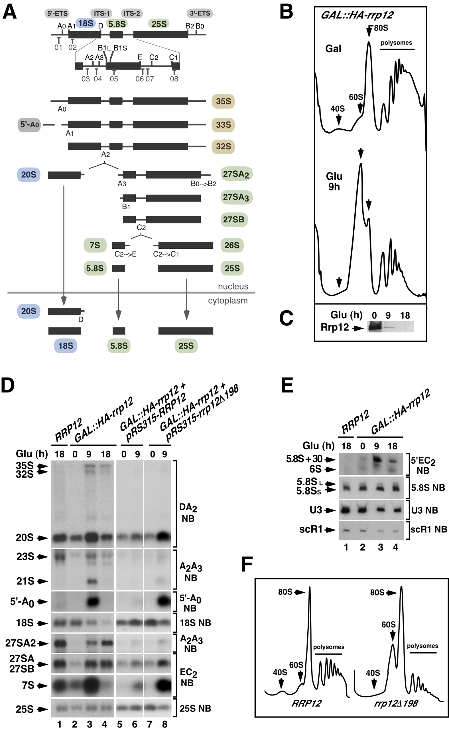 Defects in Rrp12 function block the synthesis of 40S subunits but not of 60S subunits.