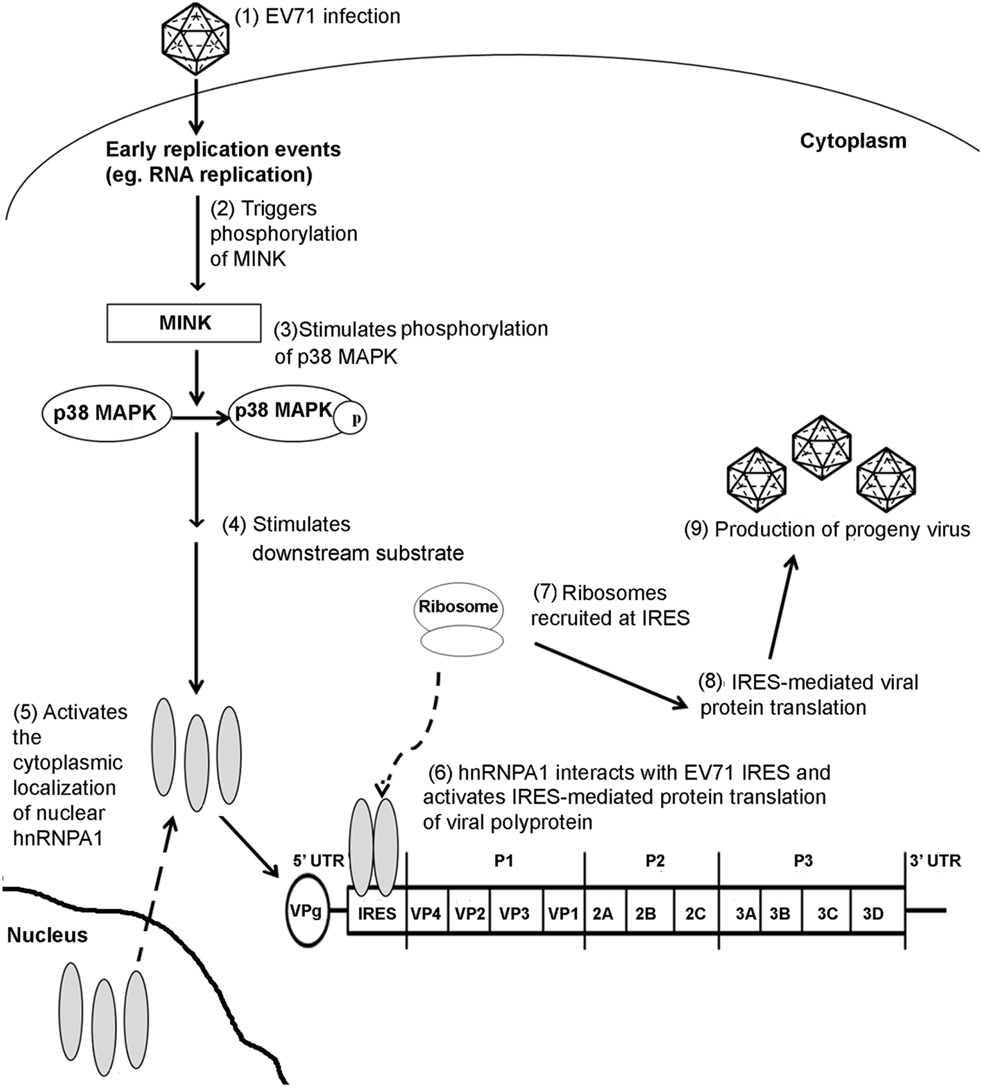 Proposed mechanism of action of MINK in the EV71 replication cycle.