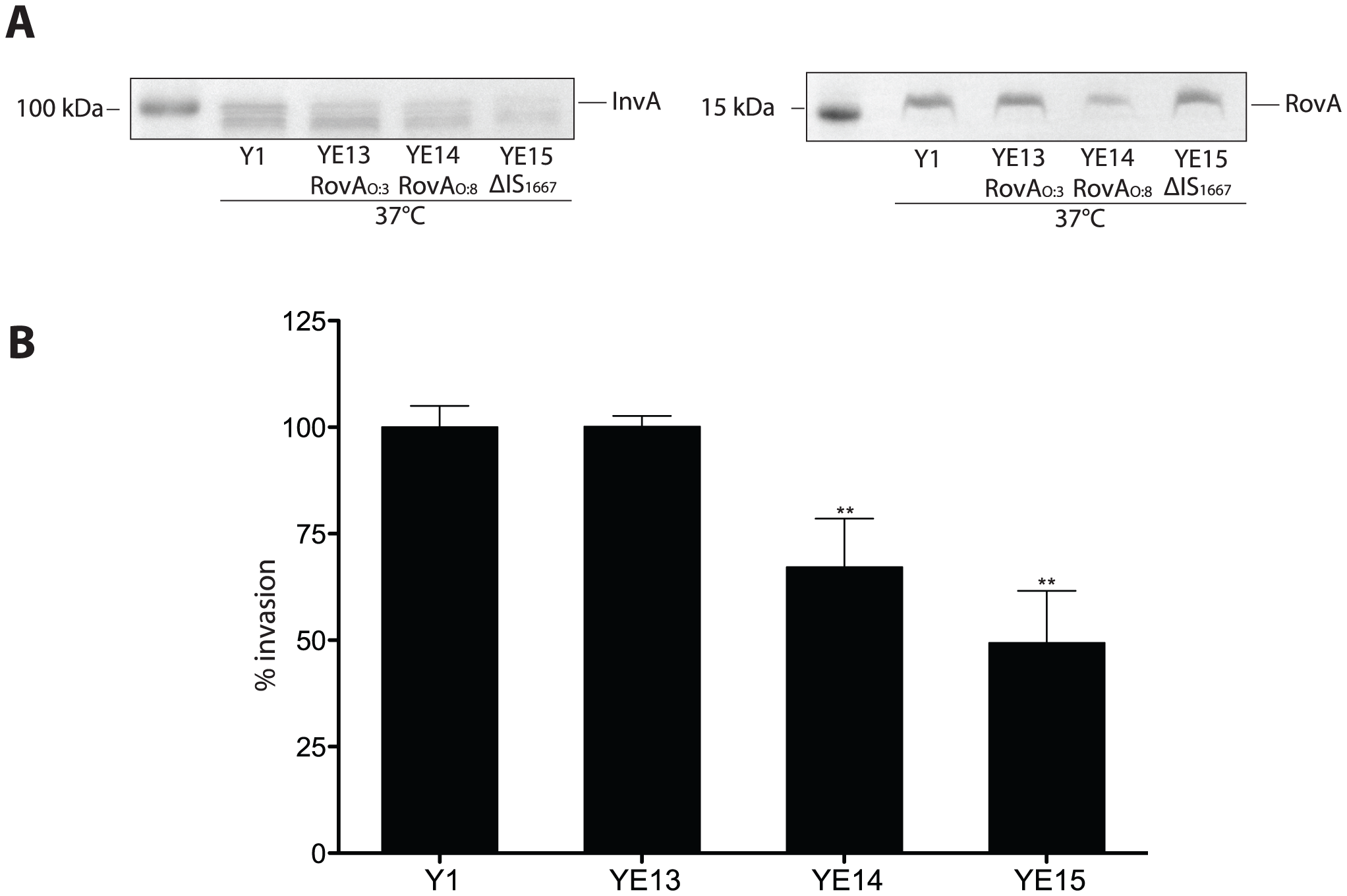 Influence of enhanced invasin and RovA levels on <i>Y. enterocolitica</i> O:3 host cell invasion.