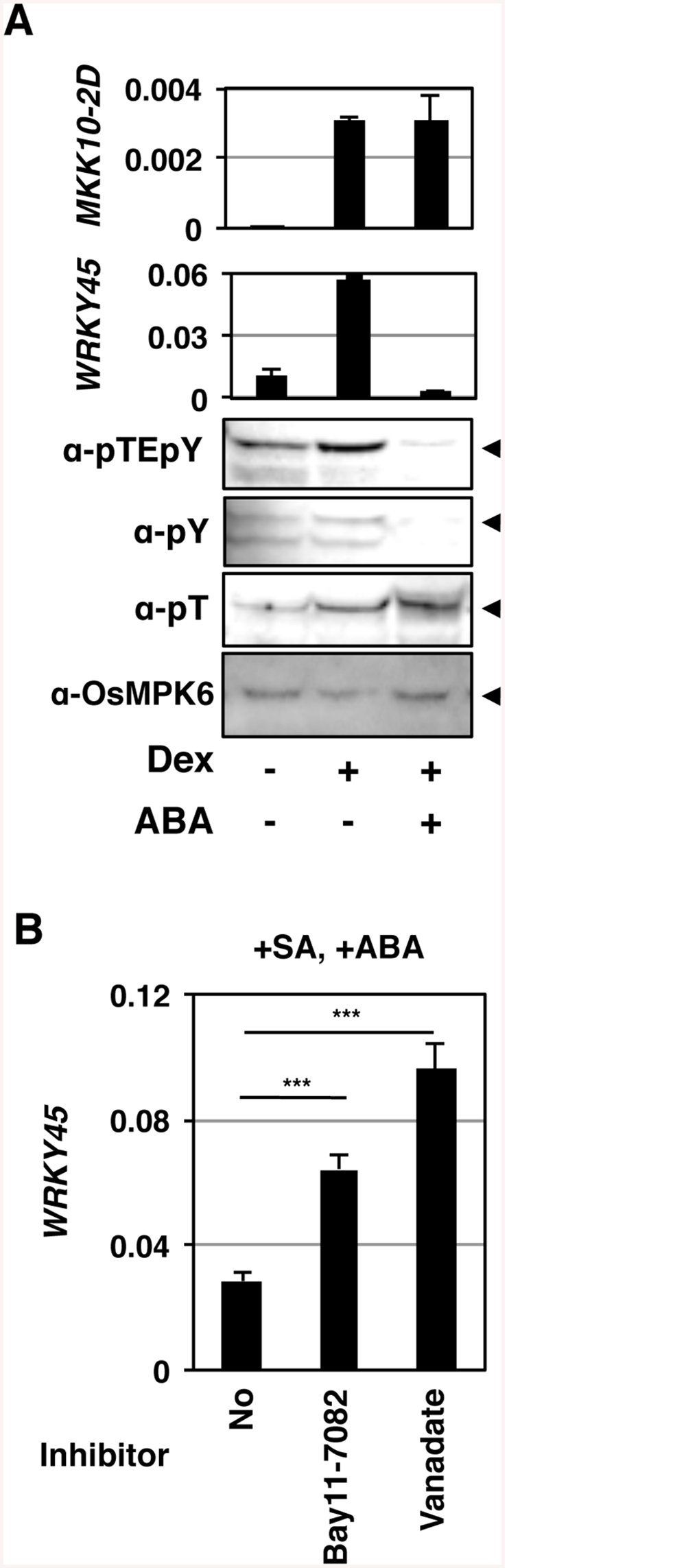 Tyr-specific dephosphorylation of OsMPK6 and suppression of <i>WRKY45</i> expression in response to ABA.