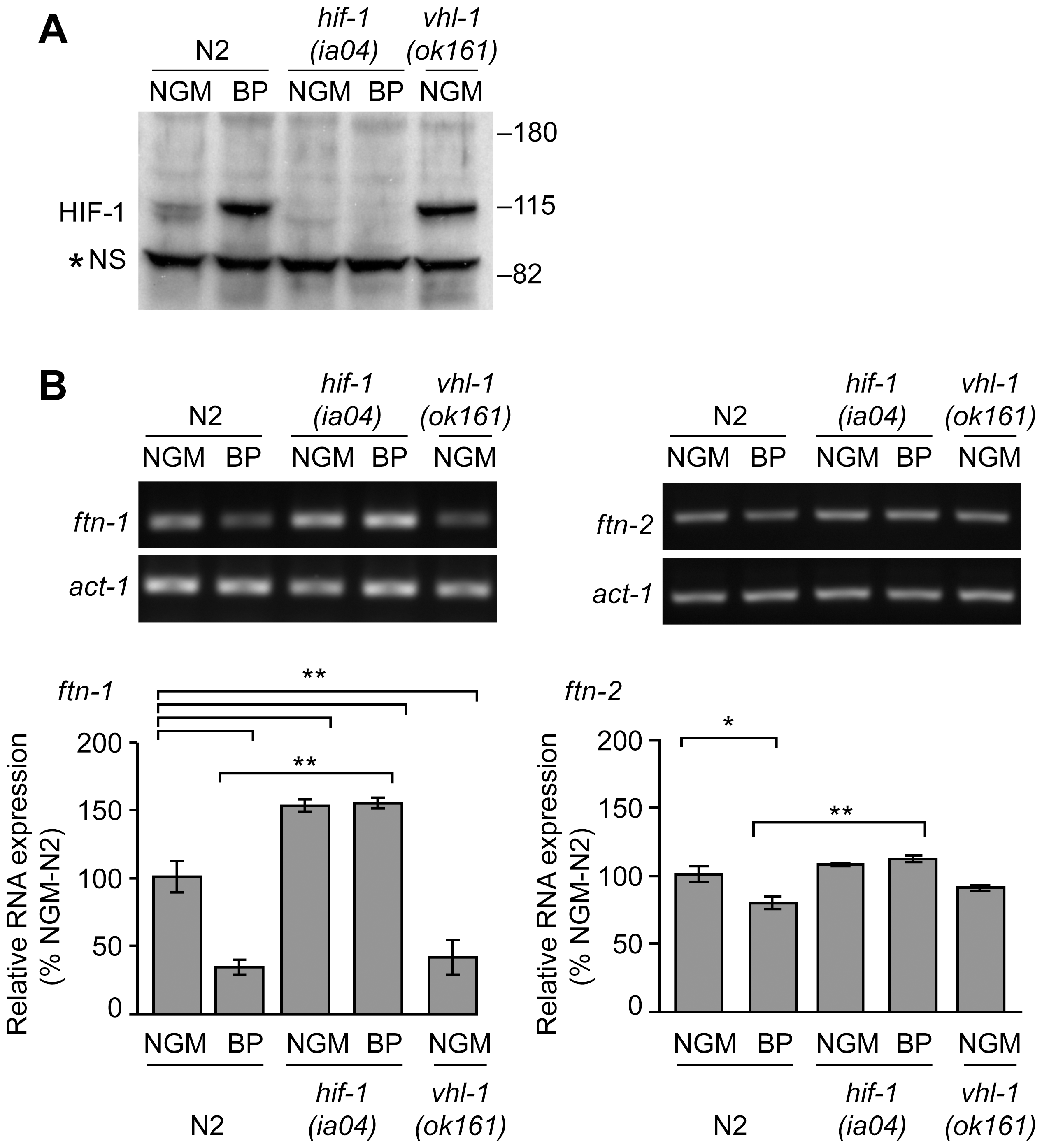 Endogenous <i>ftn-1</i> and <i>ftn-2</i> mRNA expression is regulated by HIF-1.