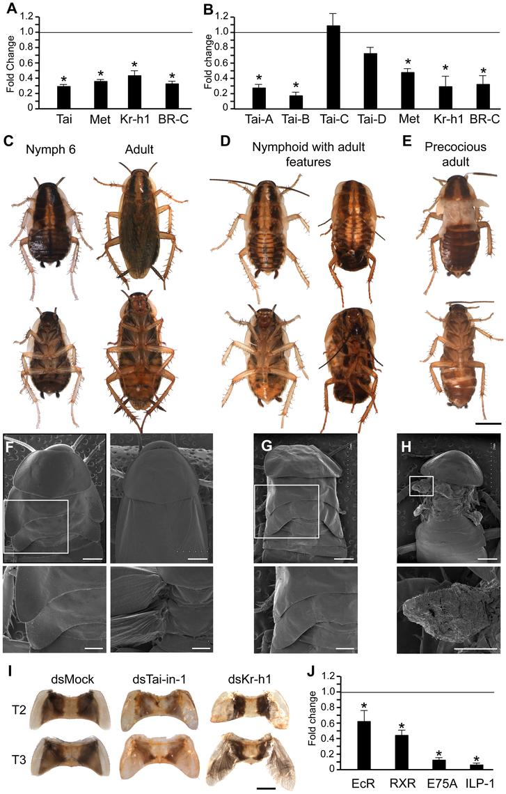 Function of BgTai in <i>Blattella germanica</i> metamorphosis.