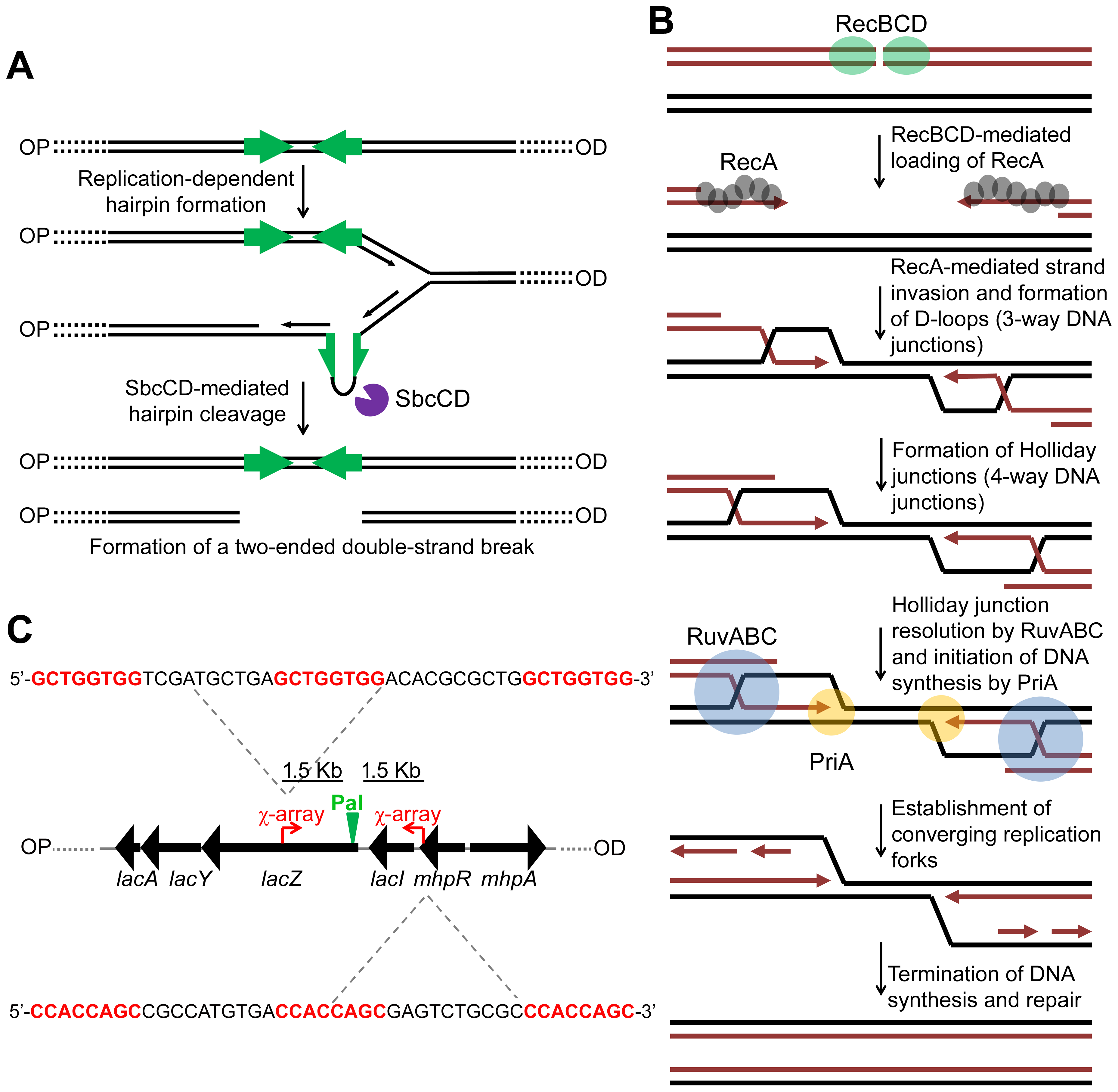 Making and repairing a site-specific DNA double-strand break in the <i>E. coli</i> chromosome.