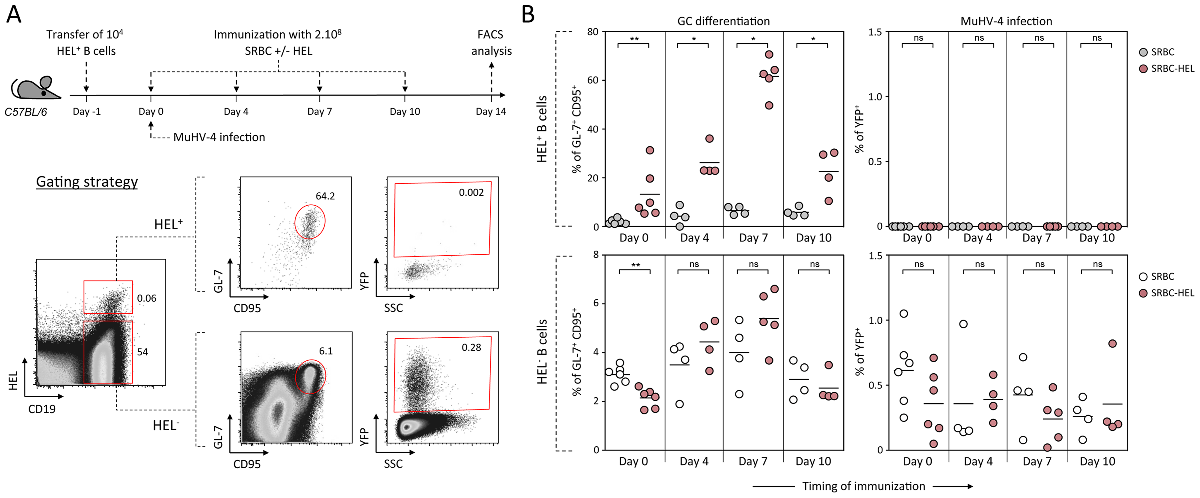 Activated HEL<sup>+</sup> B cells remain refractory to MuHV-4 infection.
